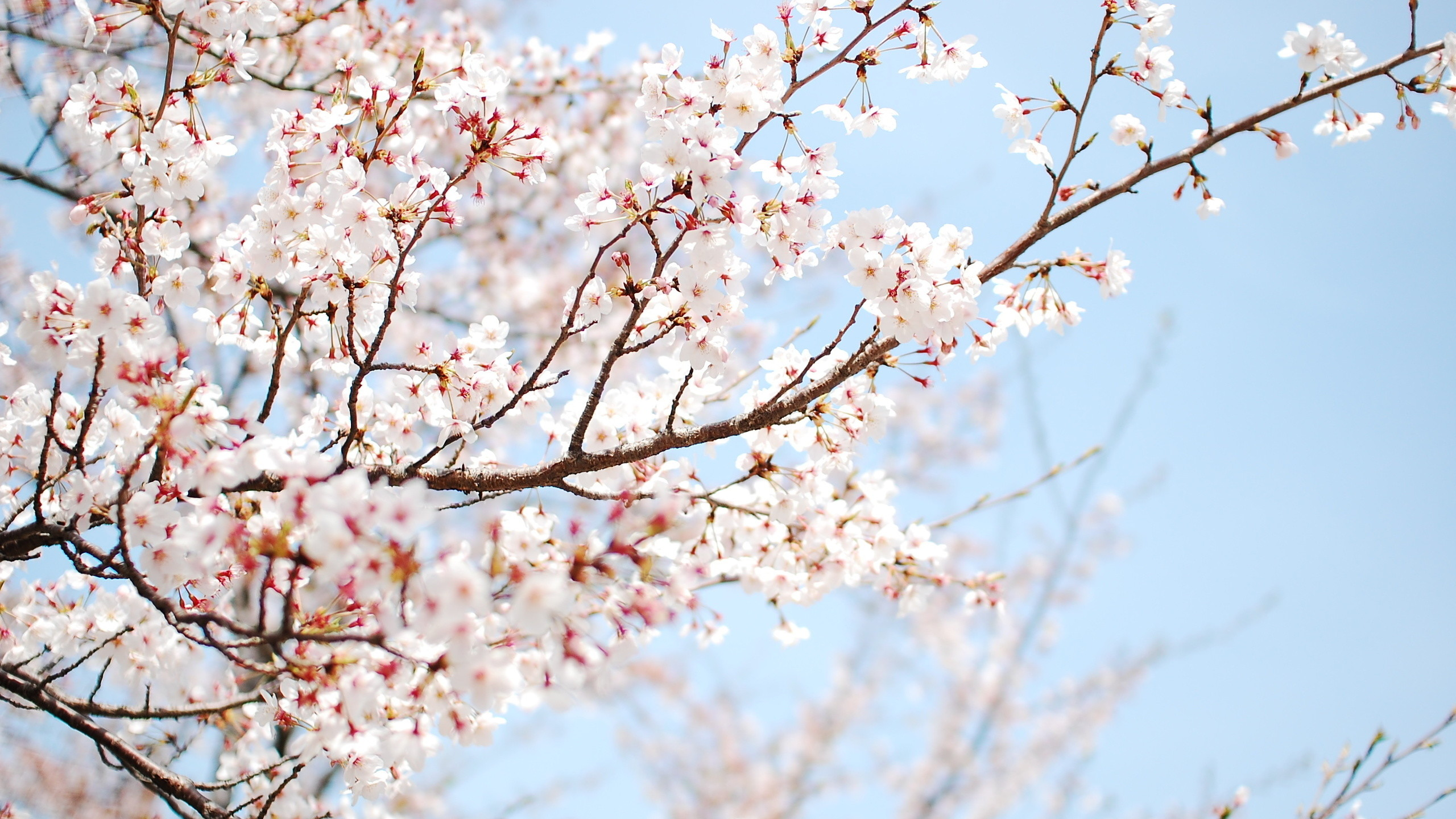 Cherry Blossom Wallpaper For Walls High Res Cherry Blossom Wallpapers  766026 Wall Home Remodel Ideas