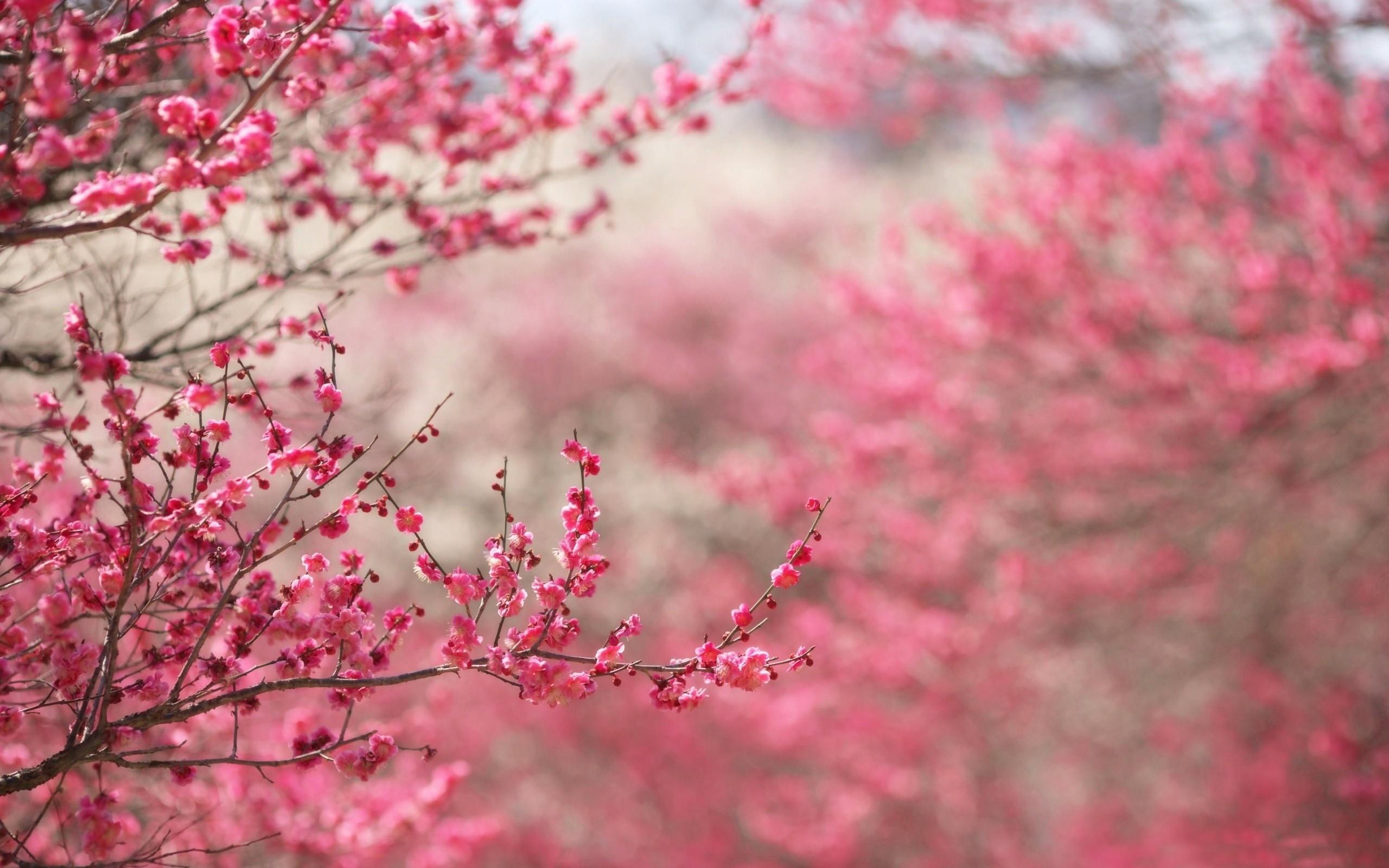 Beautiful Japanese Cherry Blossom Season