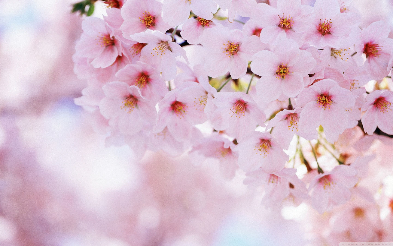 beautiful cherry blossom wallpaper. landscape natural wallpaper