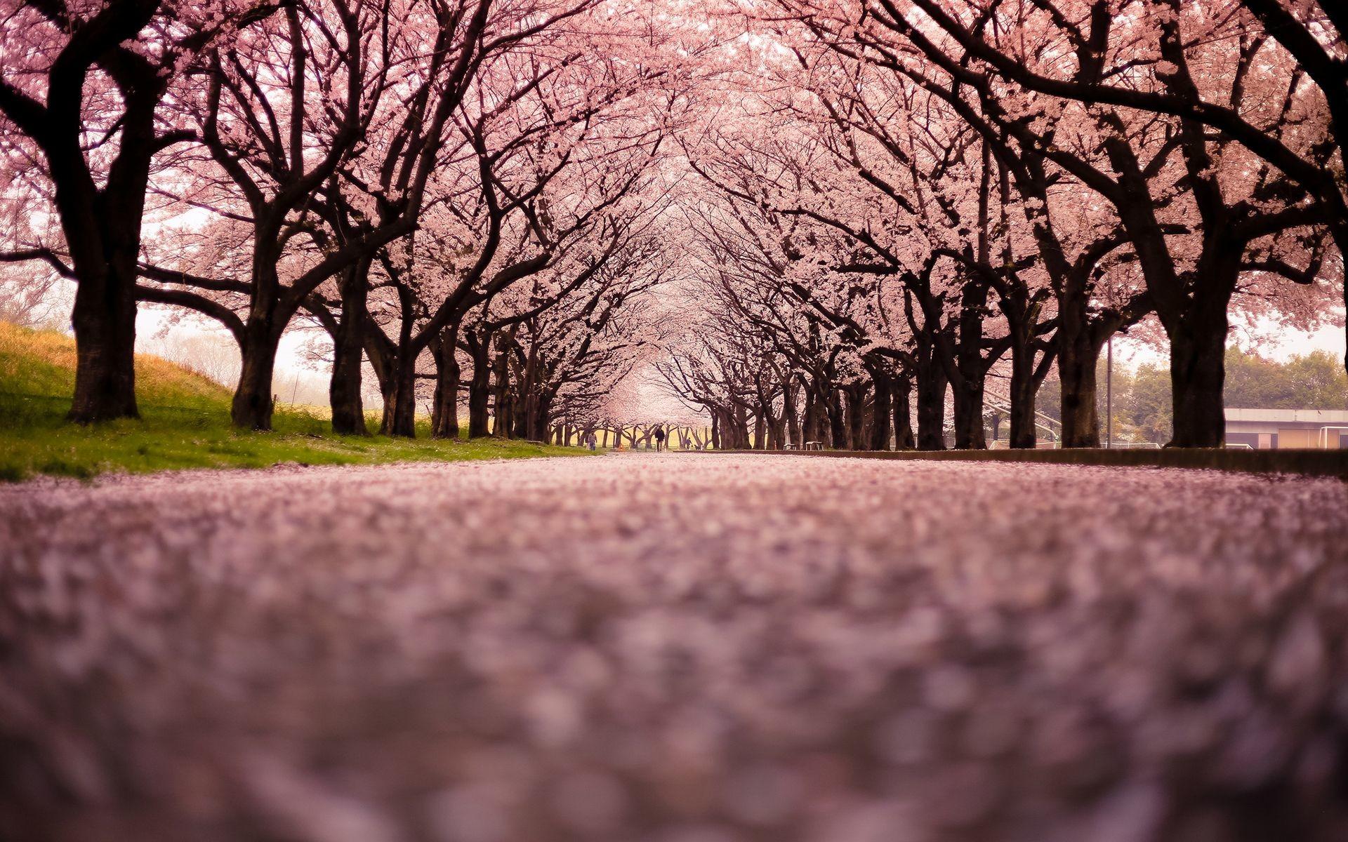 1166x685px Sakura Cherry Blossom Wallpaper