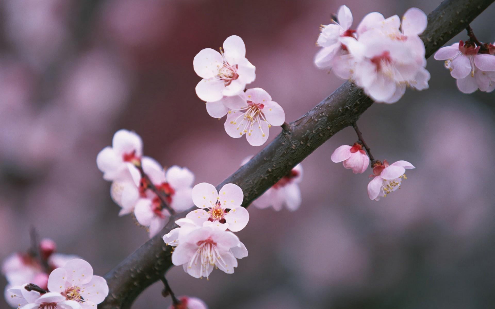 JAPAN CHERRY BLOSSOMS FLOWERS SPRING WALLPAPER – (#36112) – HQ – Widescreen  –