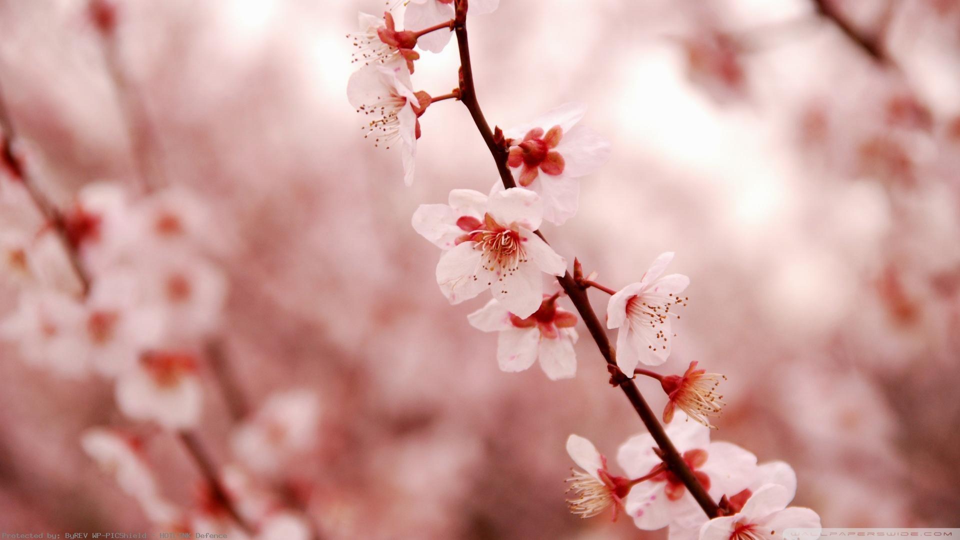 Cherry-Blossom-wallpaper-wpc9003462