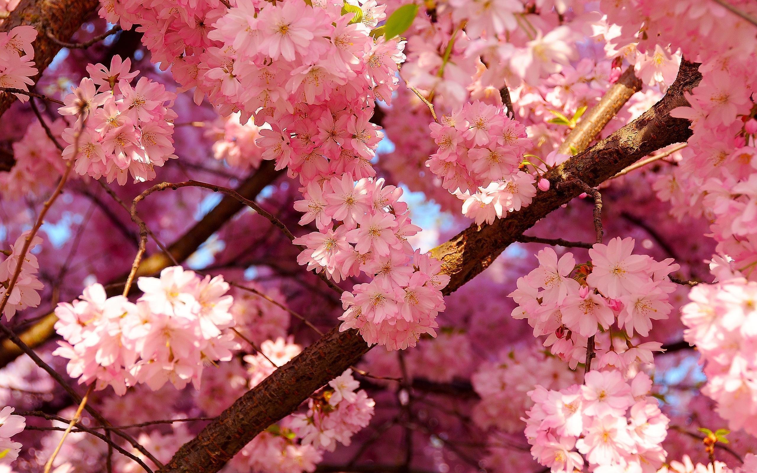 <b>Red</b> Japanese <b>Cherry Blossom Wallpaper<