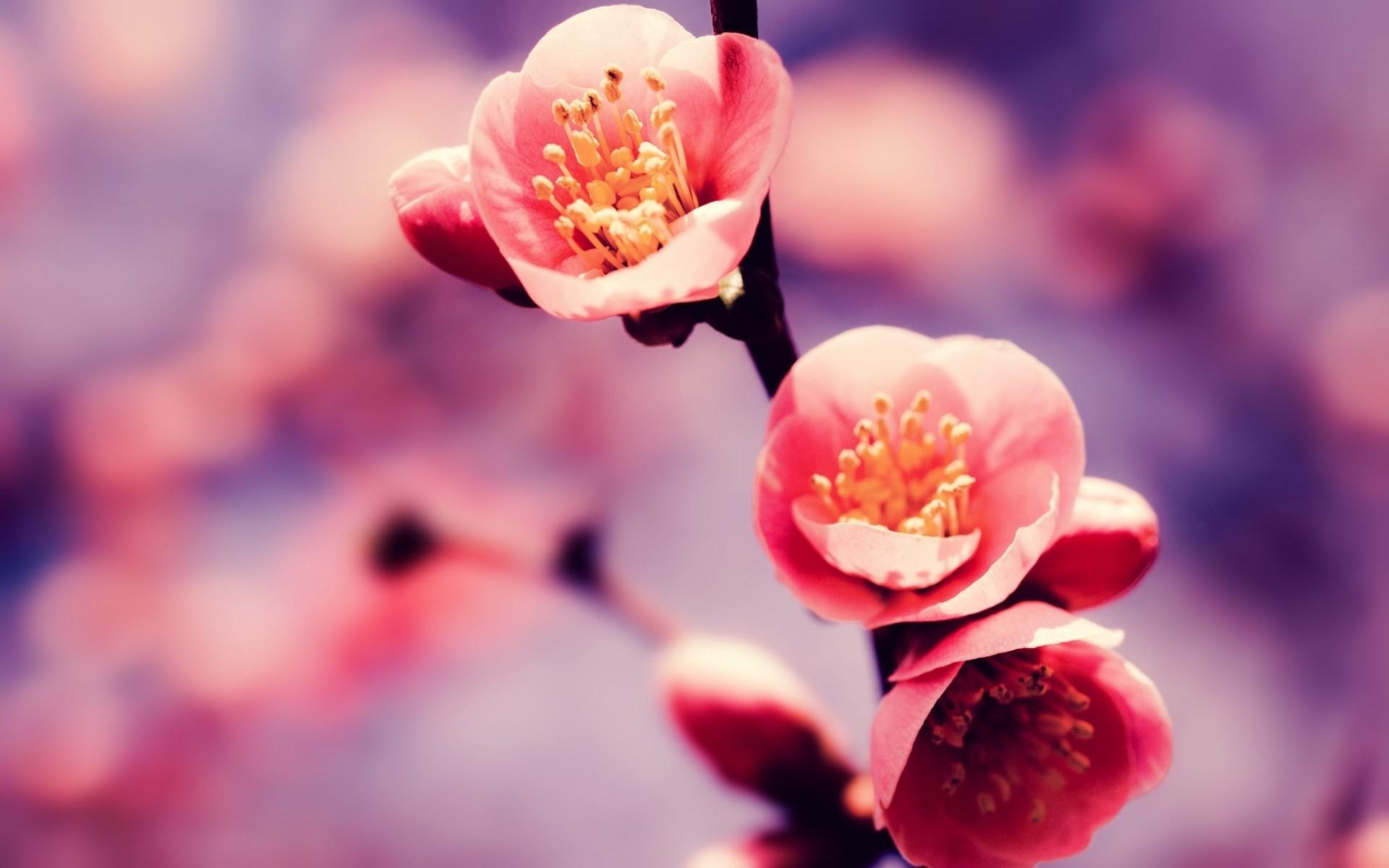 blossom cherry blossom tree wallpaper cherry blossom wallpaper hd .