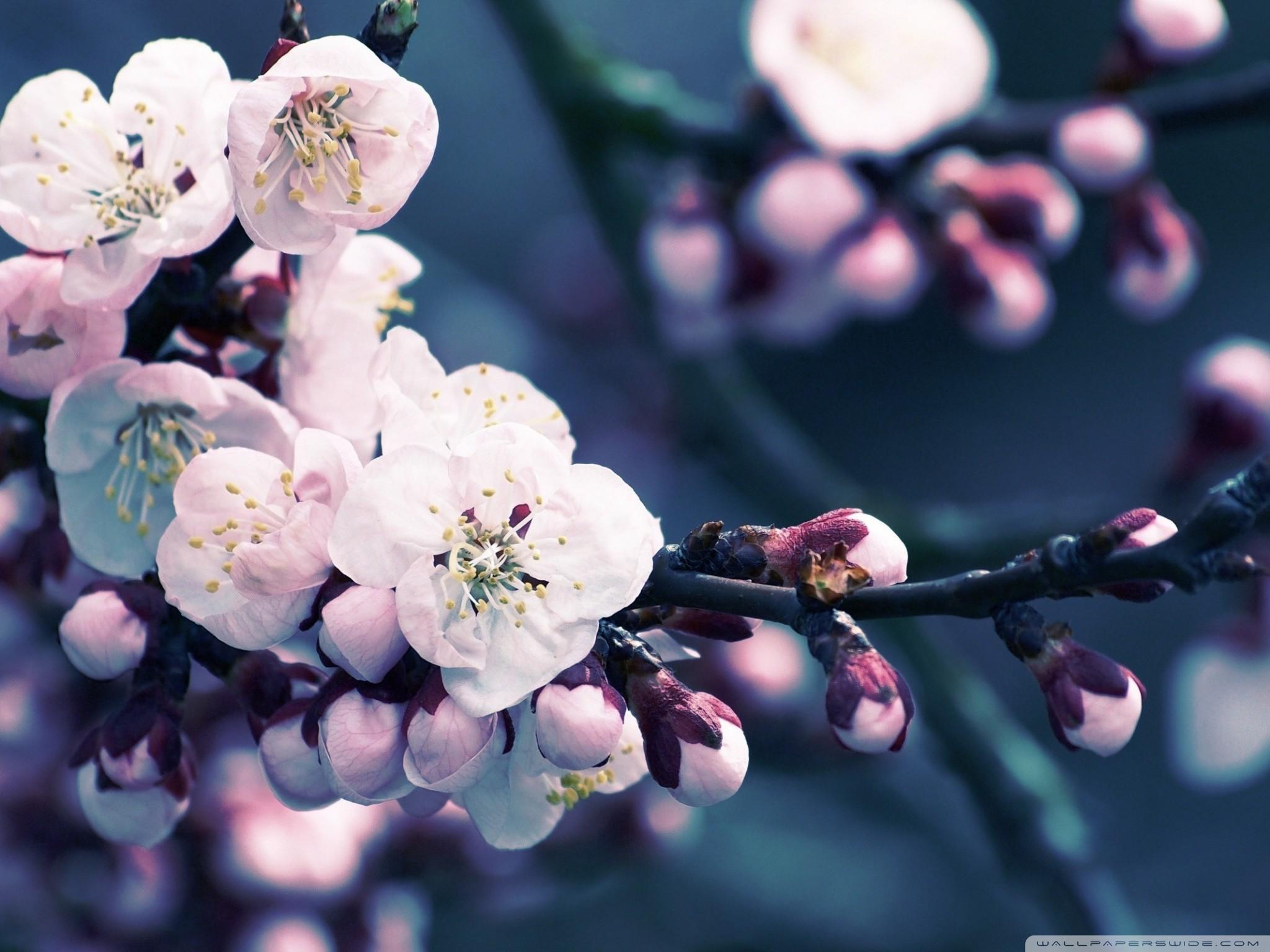 Flower : Close Up Of Cherry Blossom HD Desktop Wallpaper Free High …  Japanese …