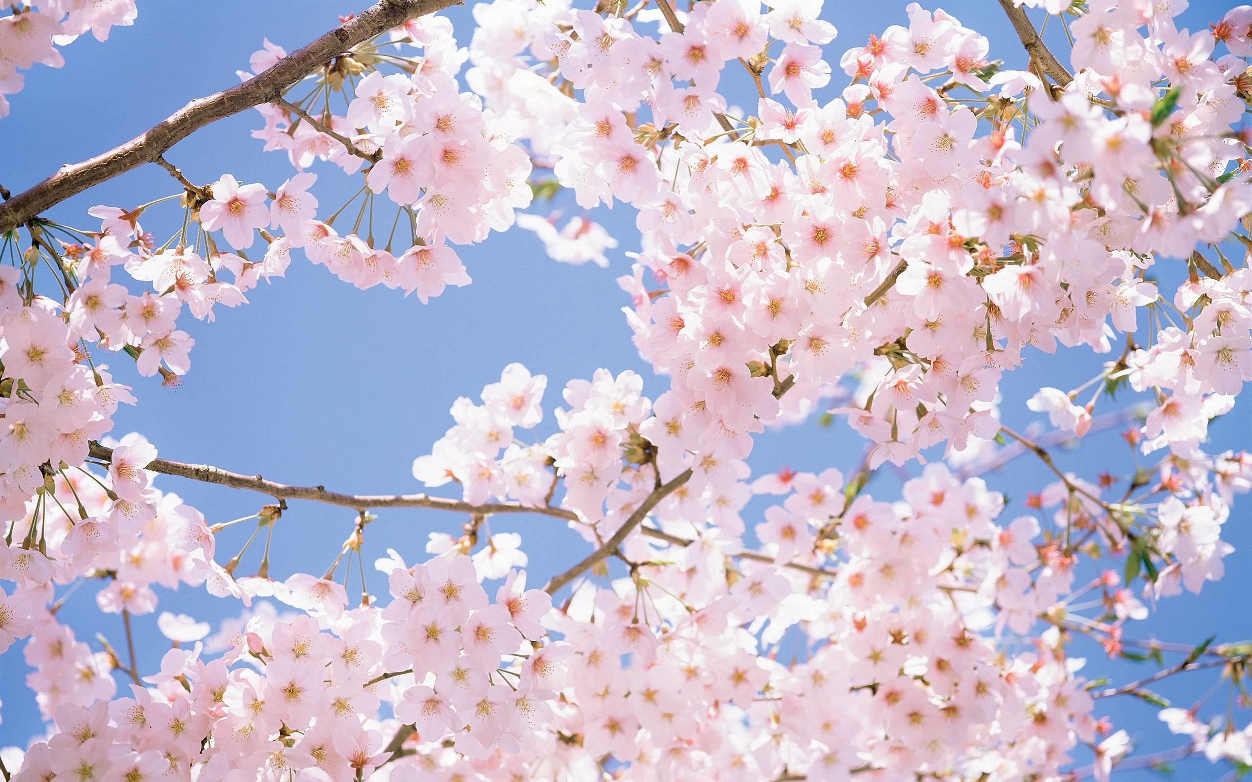 Cherry blossom tree in japan wallpaper 36274