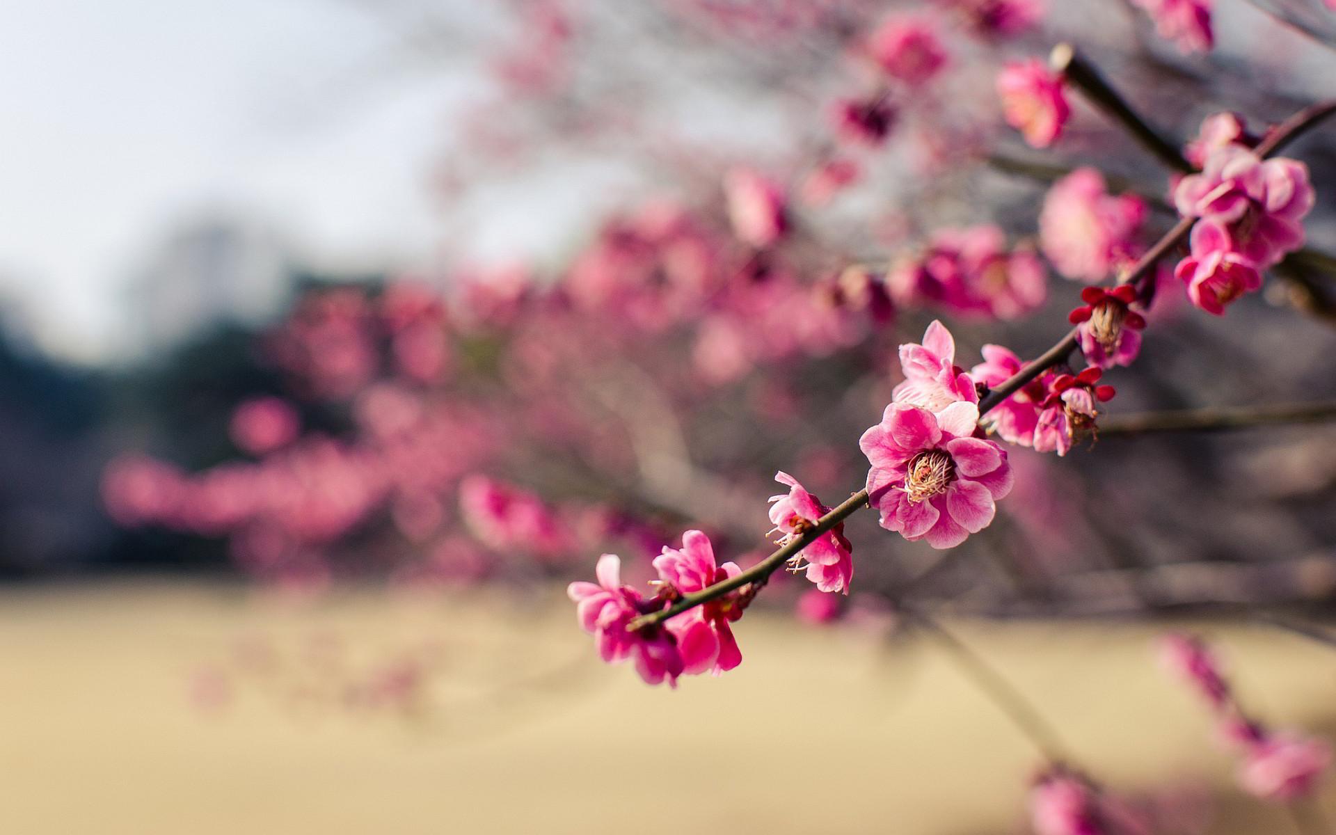 sakura cherry blossom – Google Search