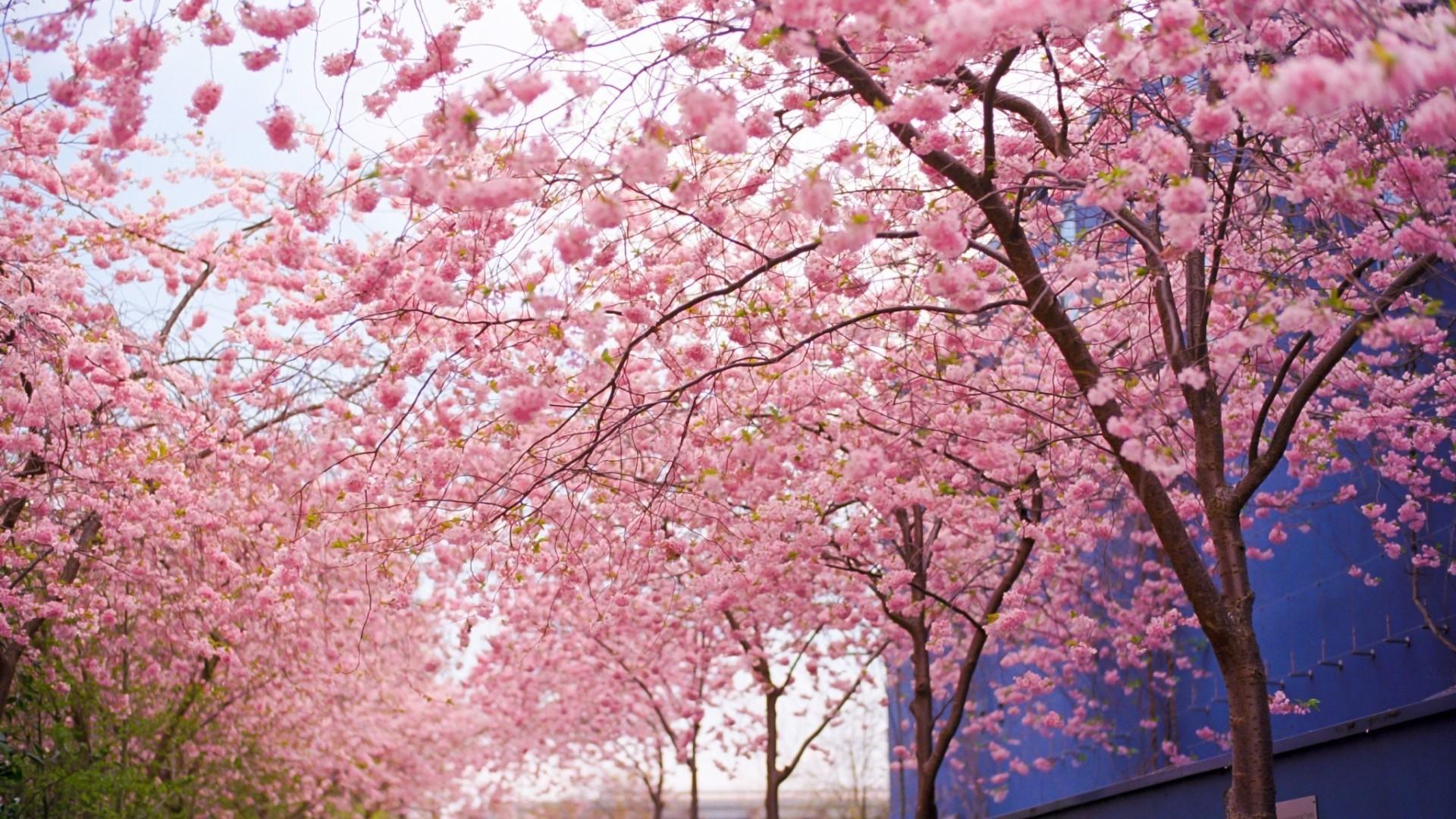 … Japanese Cherry Blossom Garden Wallpaper