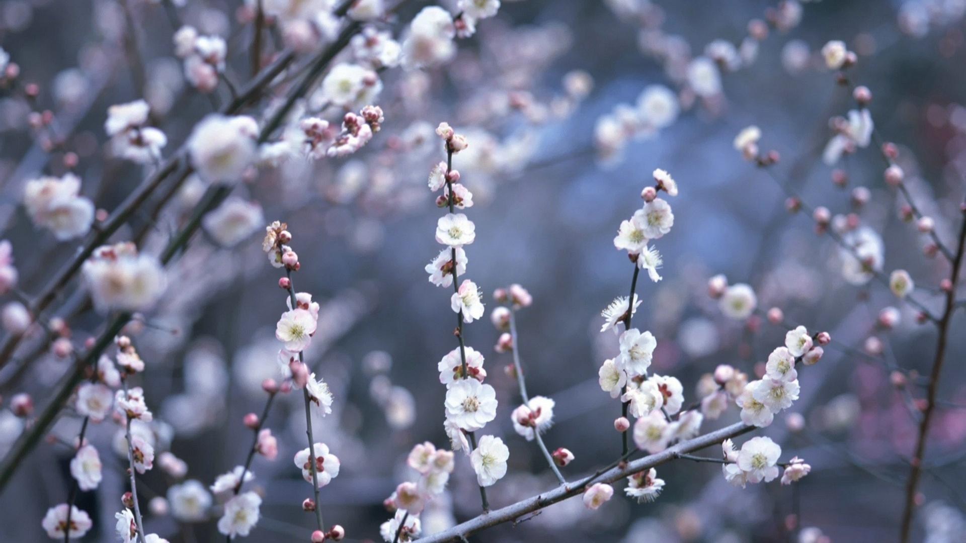 Japan cherry blossoms flowers spring (season) wallpaper