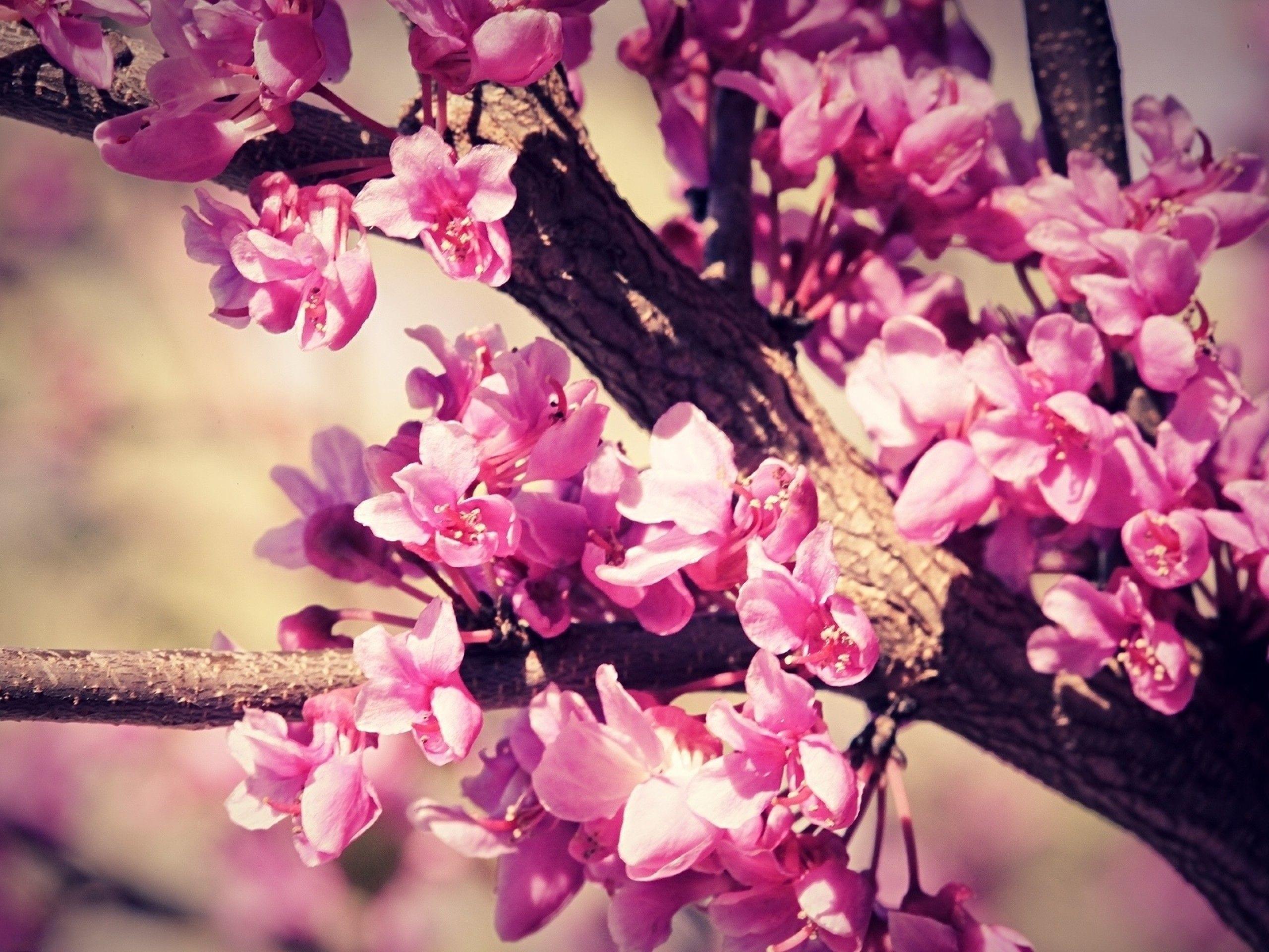 Cherry Blossom Trees HD desktop wallpaper Widescreen High
