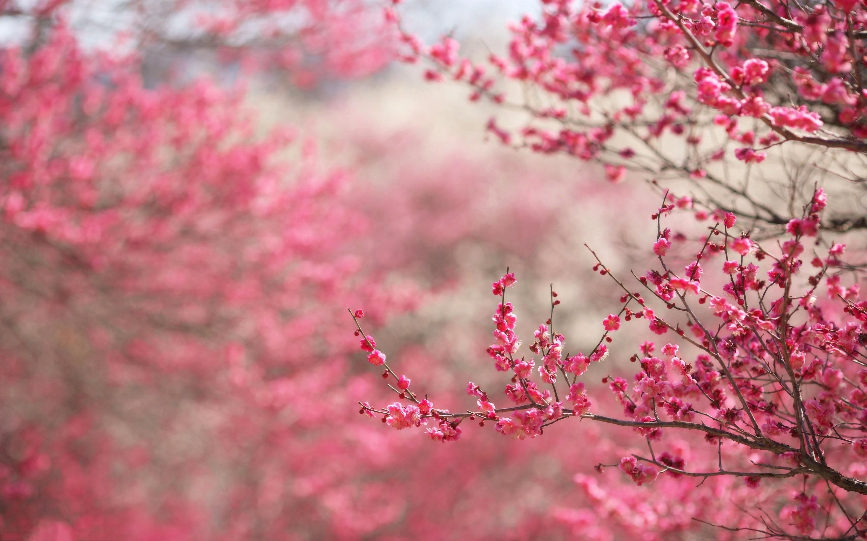 Spring cherry blossoms Wallpaper