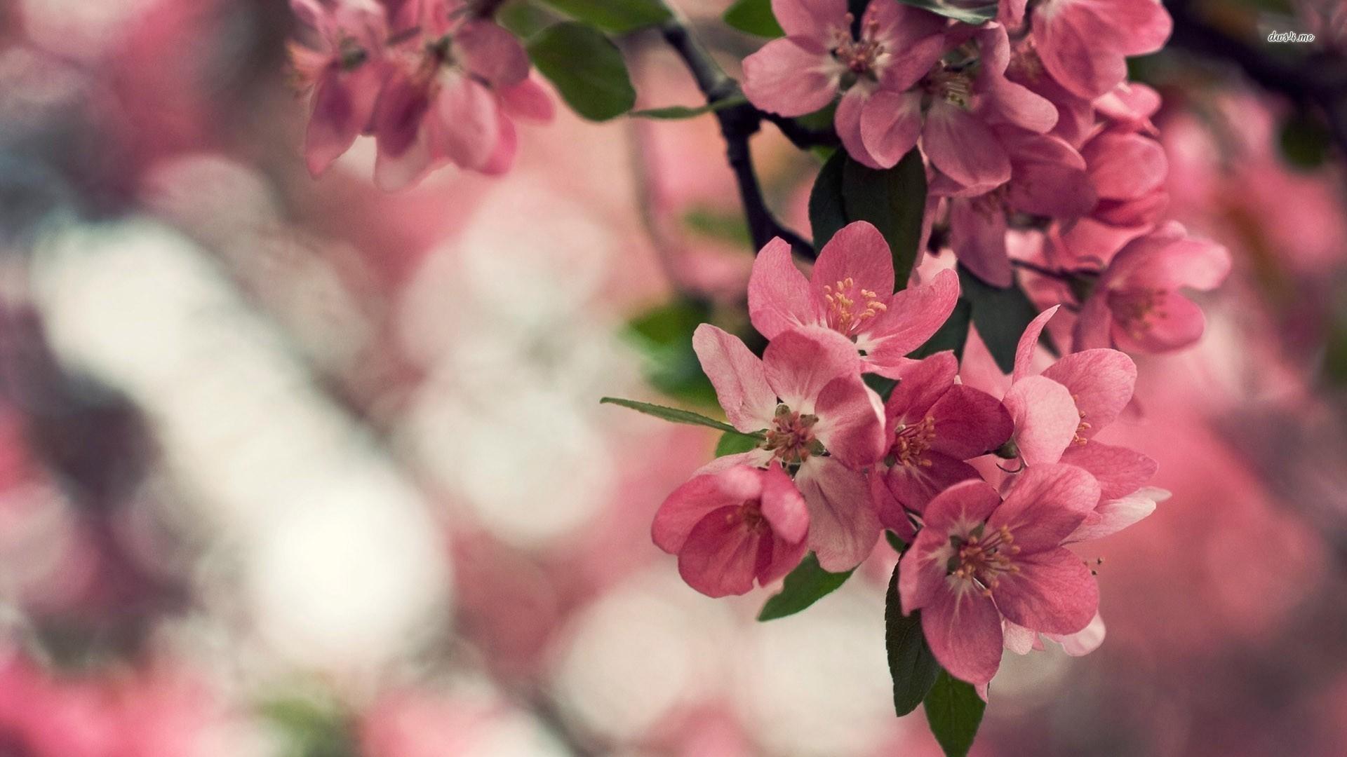 Blossom Flower Wallpaper · Cherry Blossoms