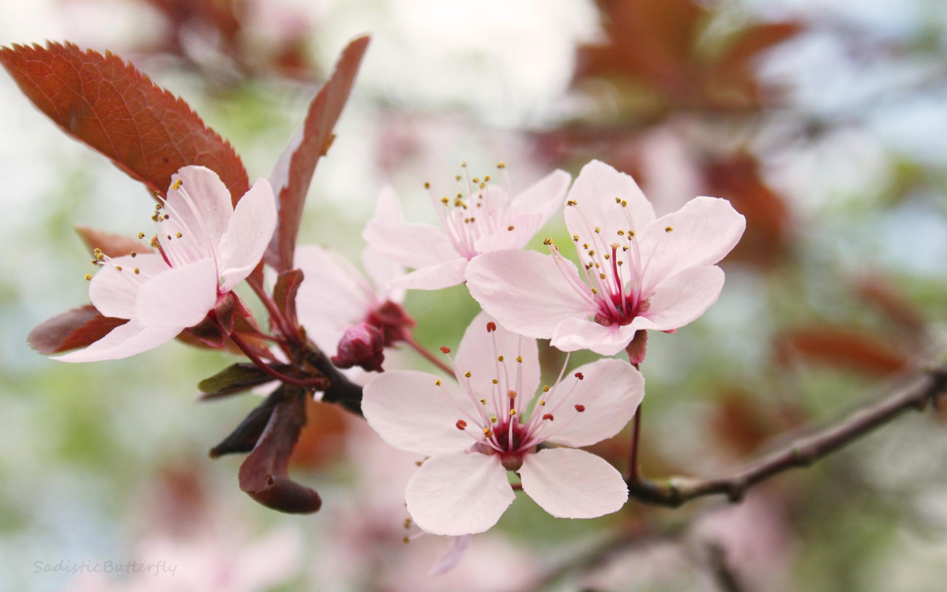 Japanese Cherry Blossom HD Desktop Wallpaper | HD Desktop Wallpaper