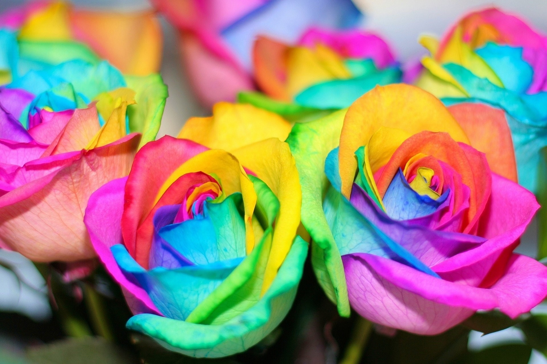colorful flowers rainbow roses beautiful flower rainbow roses