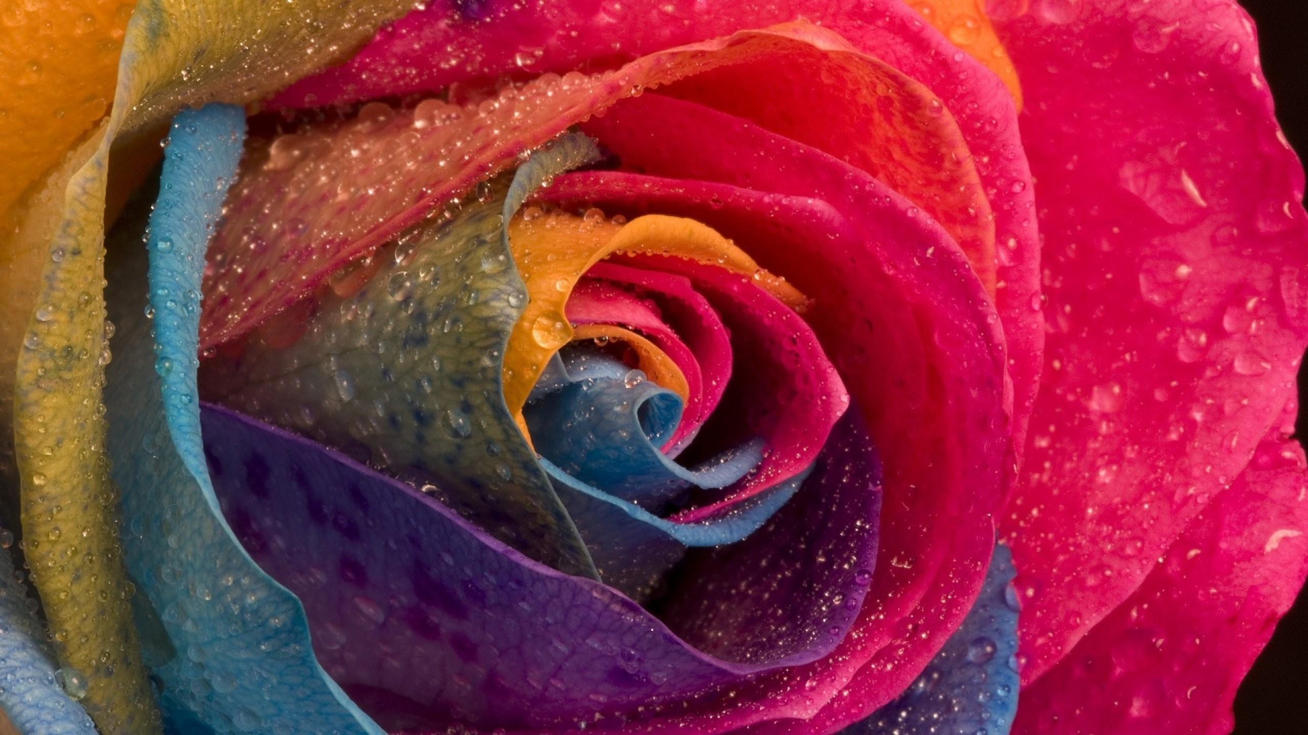 Rainbow Rose 870147 · rose 516748