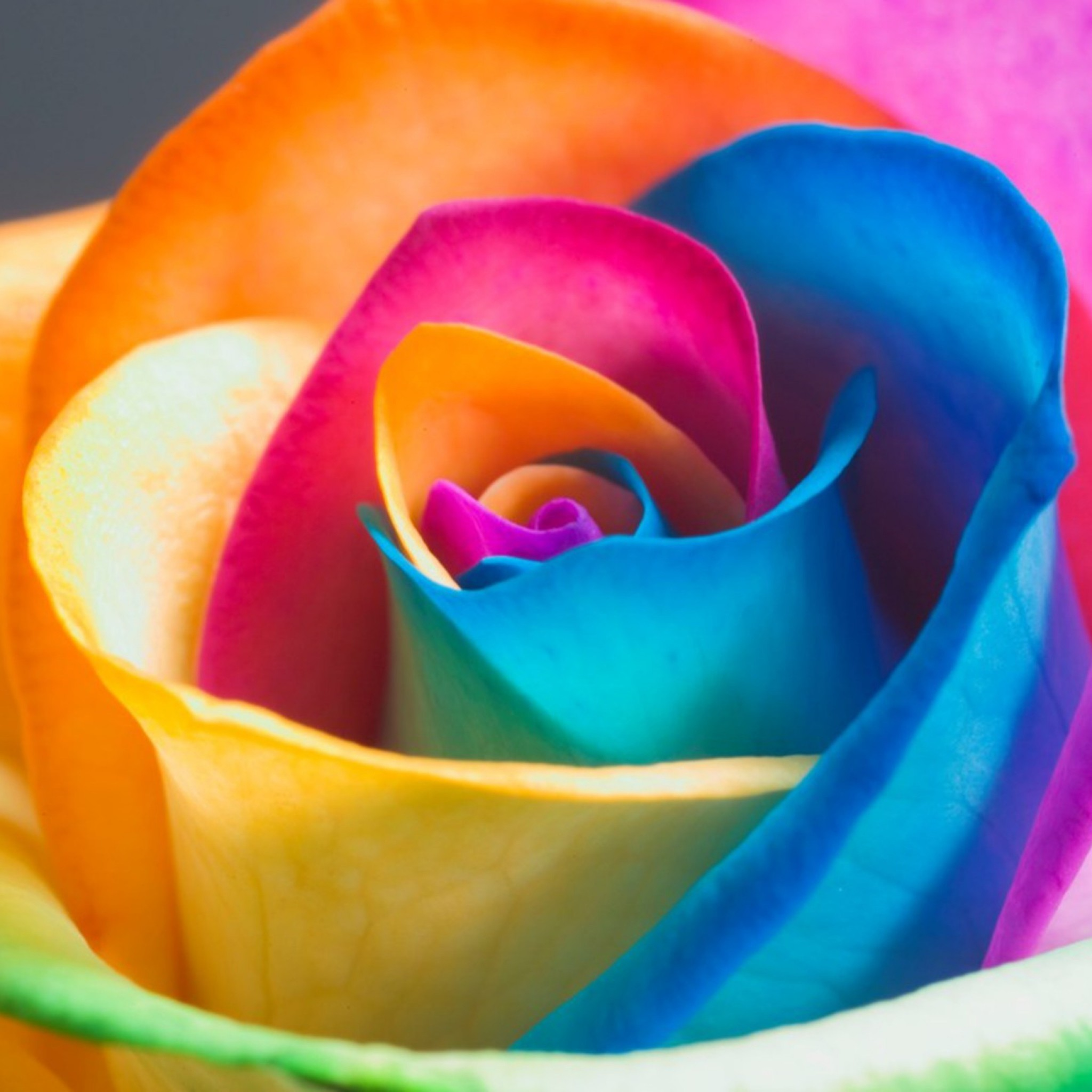 Preview wallpaper rose, flower, colorful, close-up, petals 2048×2048