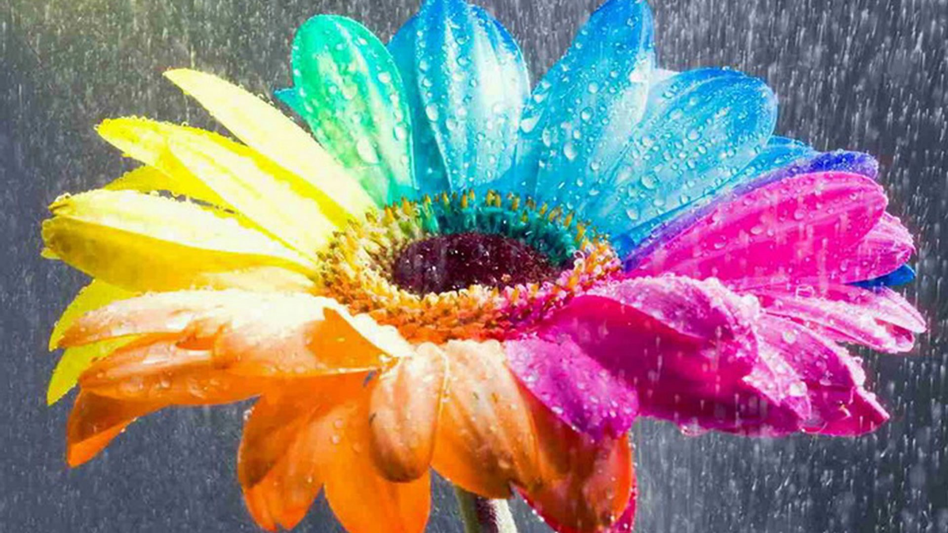 Amazing Nice Colorful Rainbow Flower HD Wallpapers. Added On ..
