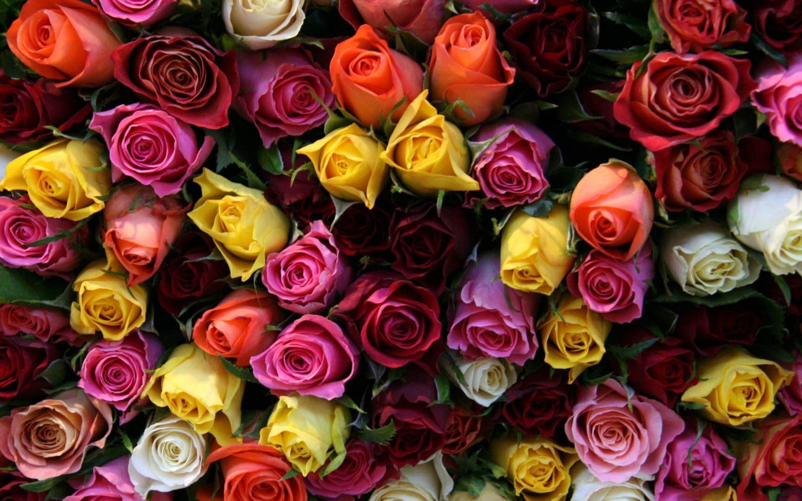 Color Roses Wallpaper HD Download Of Beautiful Roses
