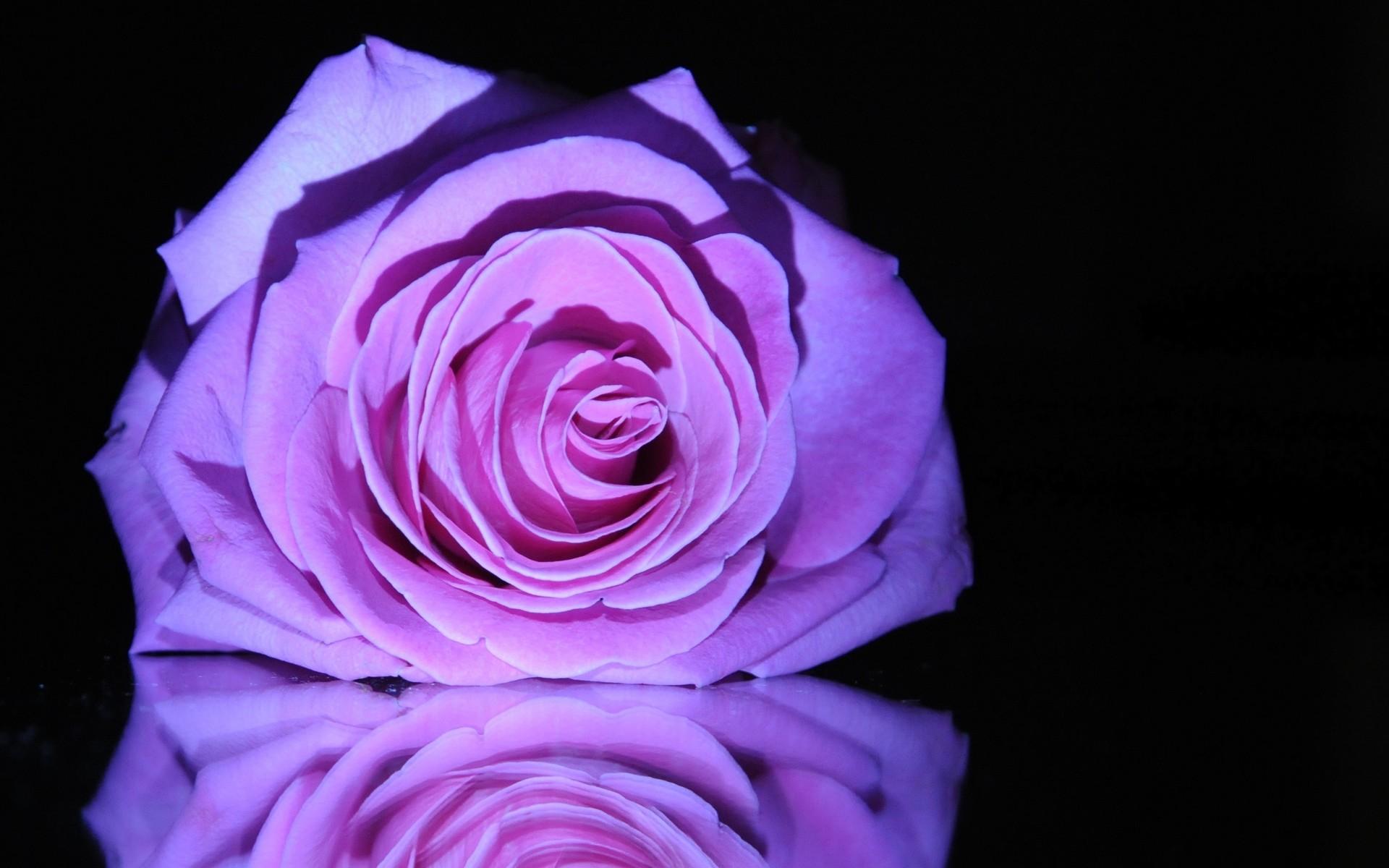 Purple Roses Wallpaper Widescreen Wallpaper