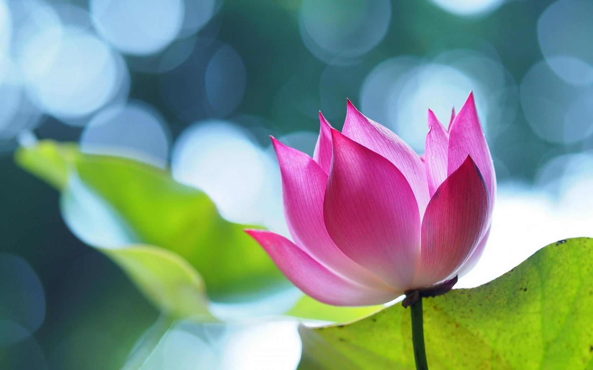 Pink Lotus Flower Wallpaper