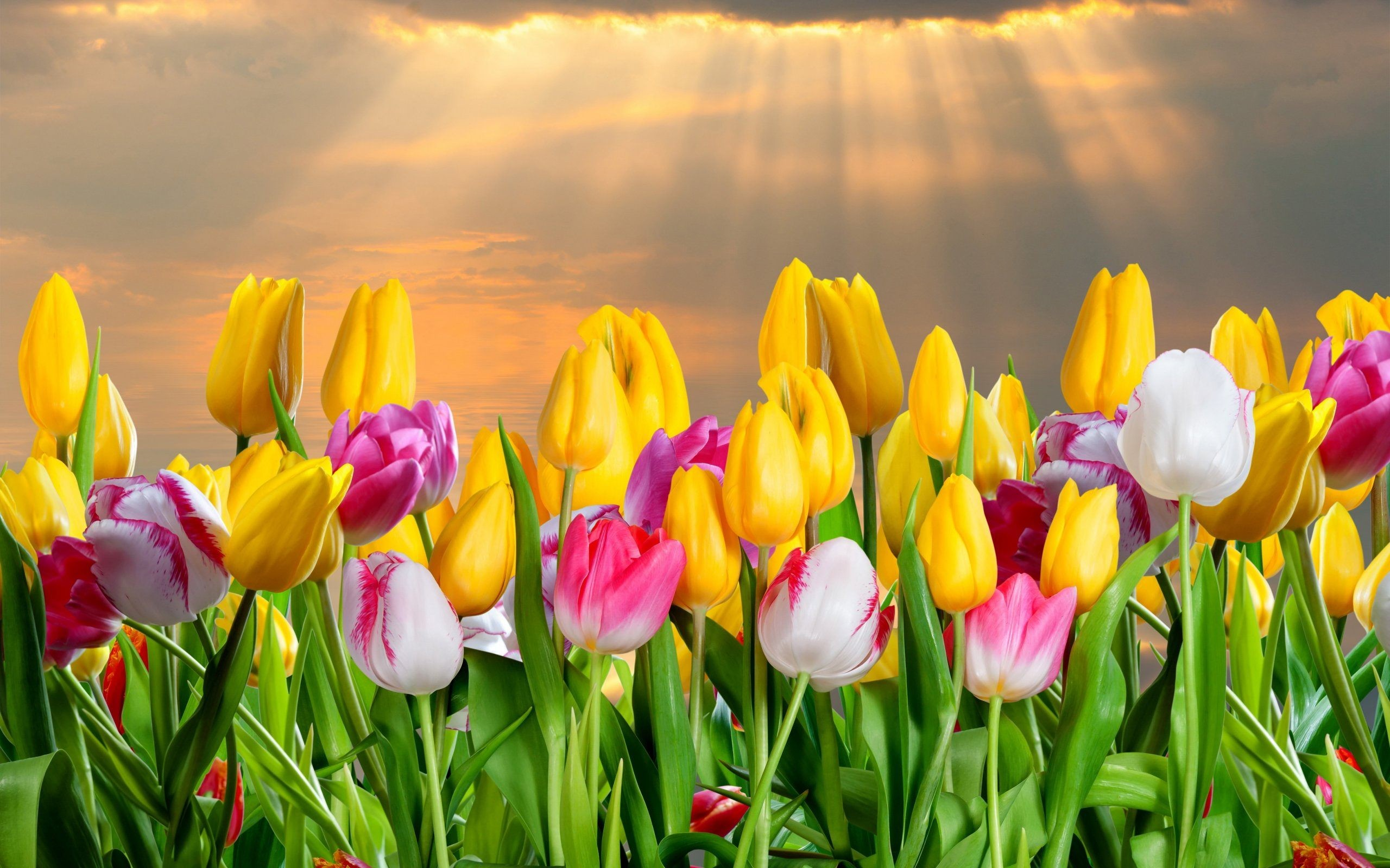 Color Tulips Flowers Wallpaper