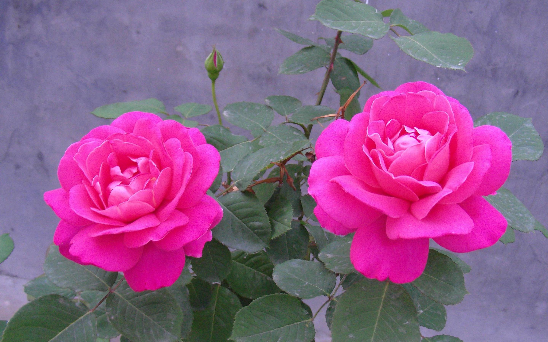 hd wallpapers nature flowers rose (11) – Stepwallpaper.com Source .