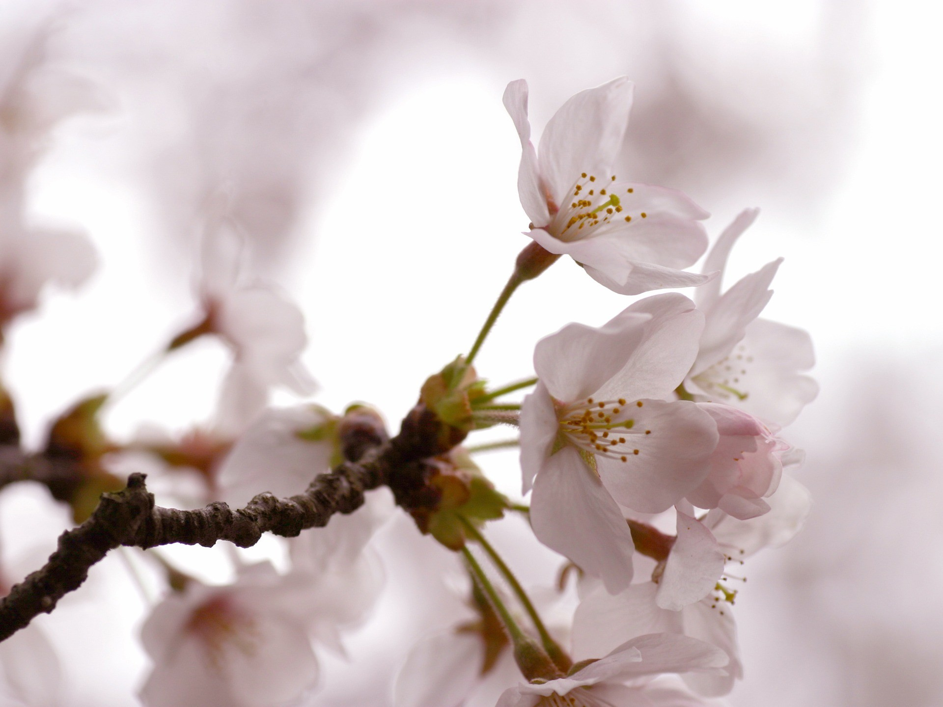 Cherry Flowers Wallpaper Spring Nature