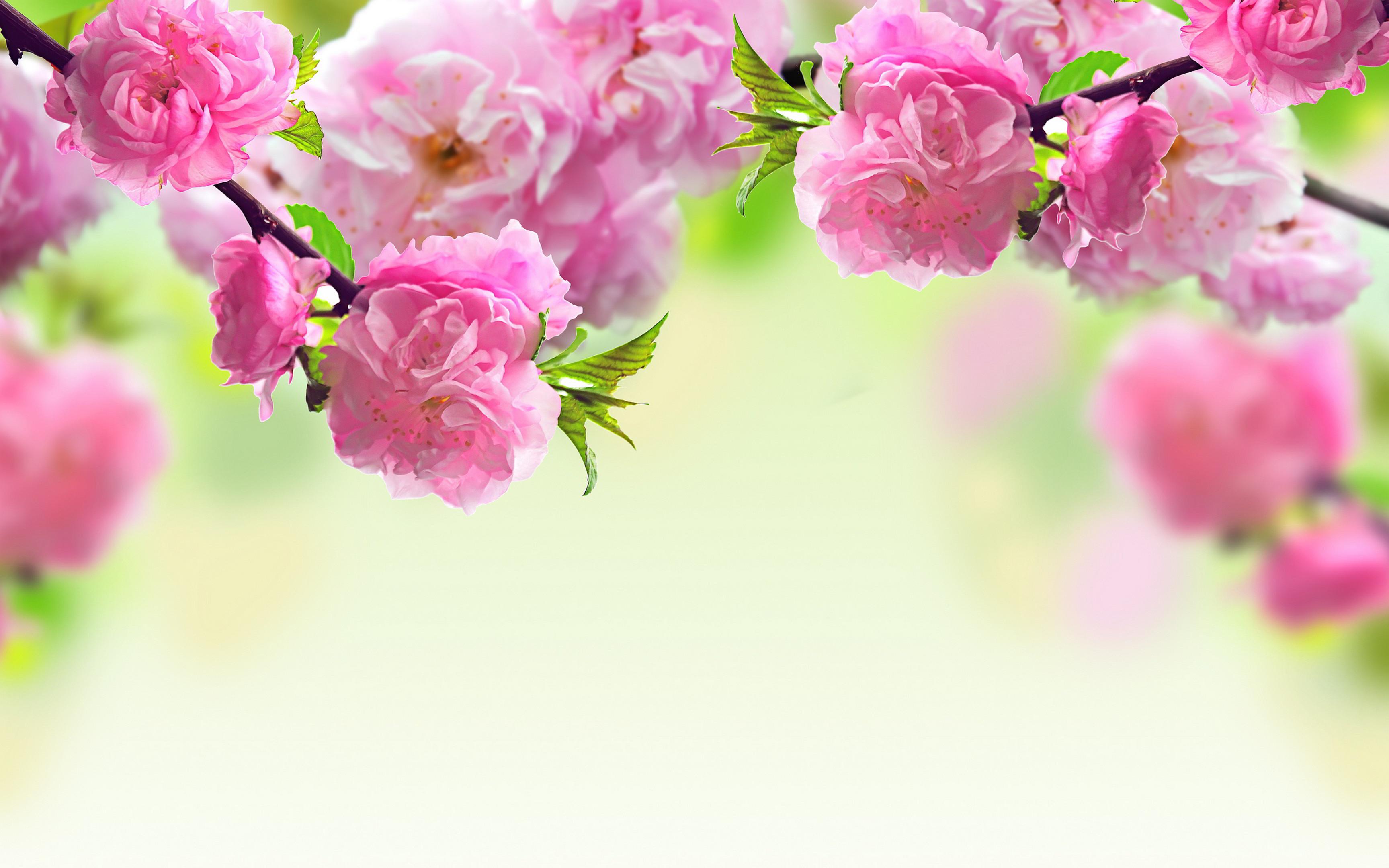 MACRO wallpaper | Pink Spring Flowers Macro Wallpaper HD Free Desktop  #429003773