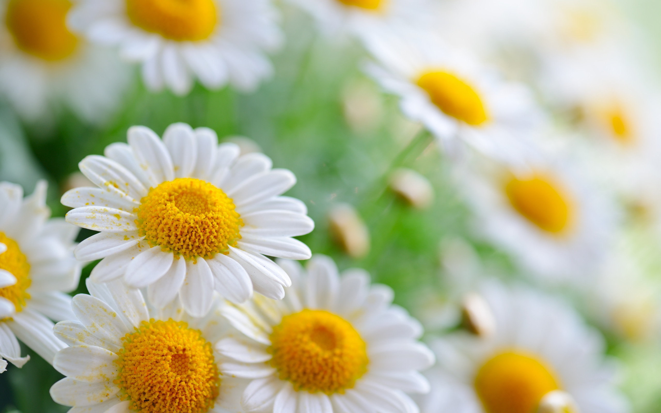 Beauriful Daisy Flower Wallpapers HD