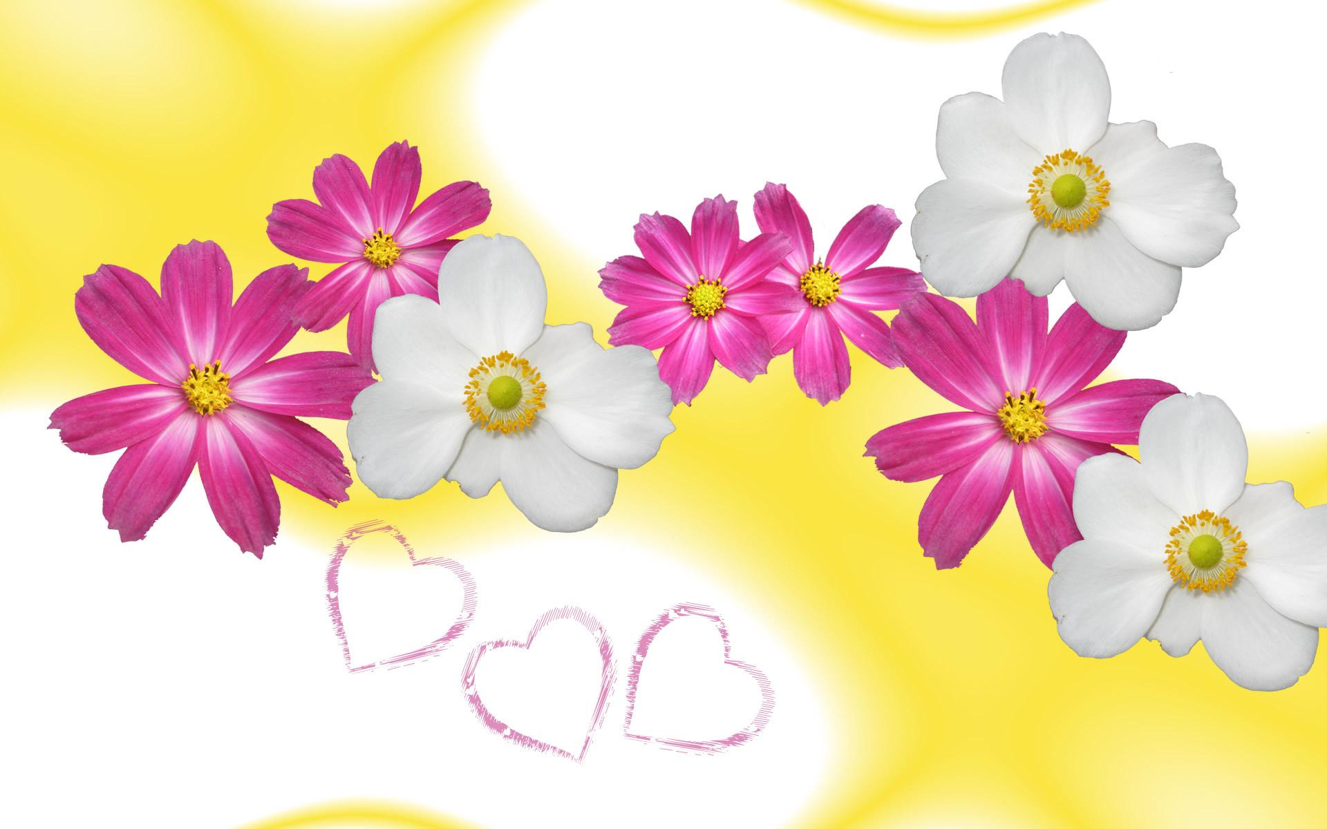 Aster flower wallpaper