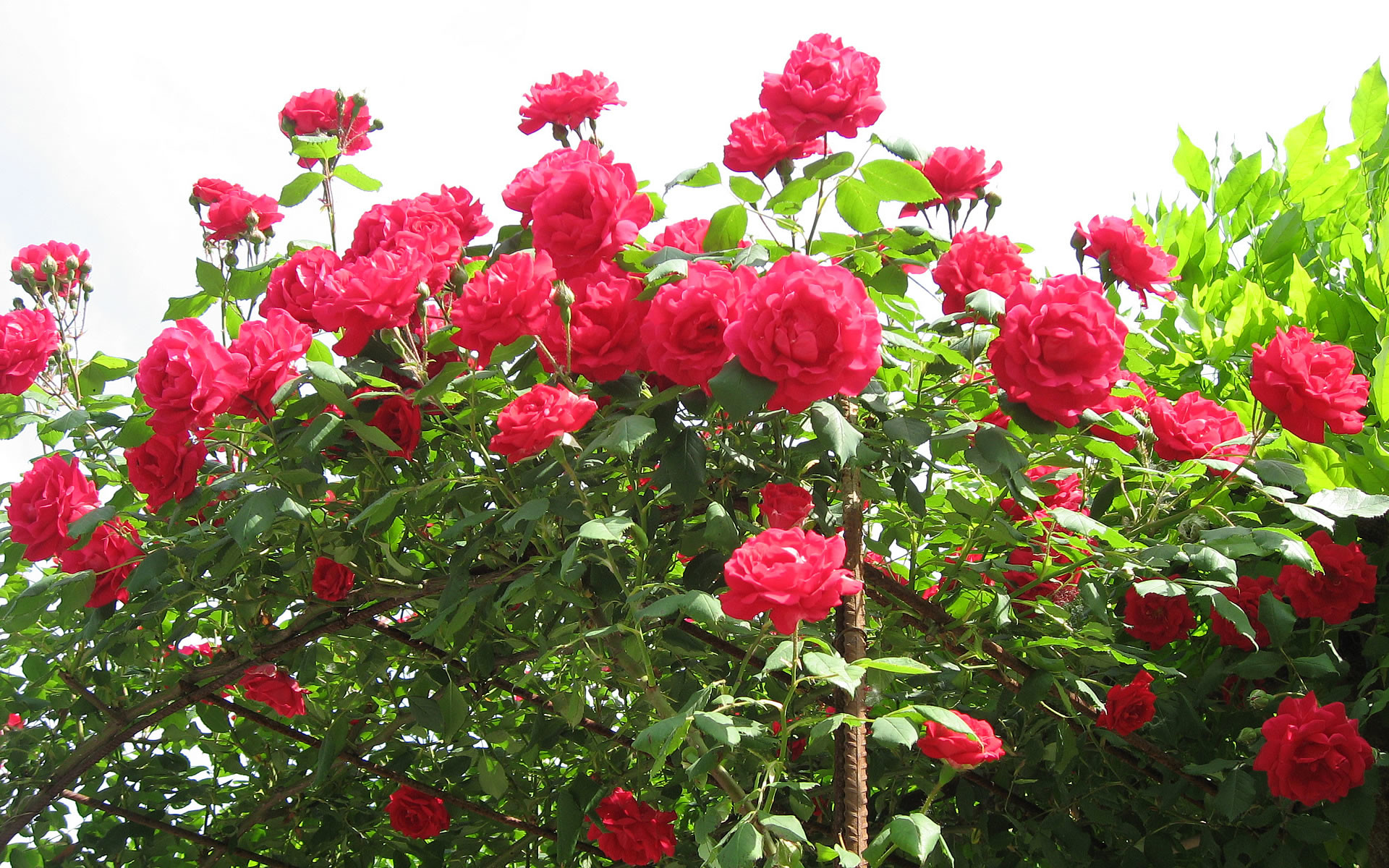 Flowers Wallpaper 5599