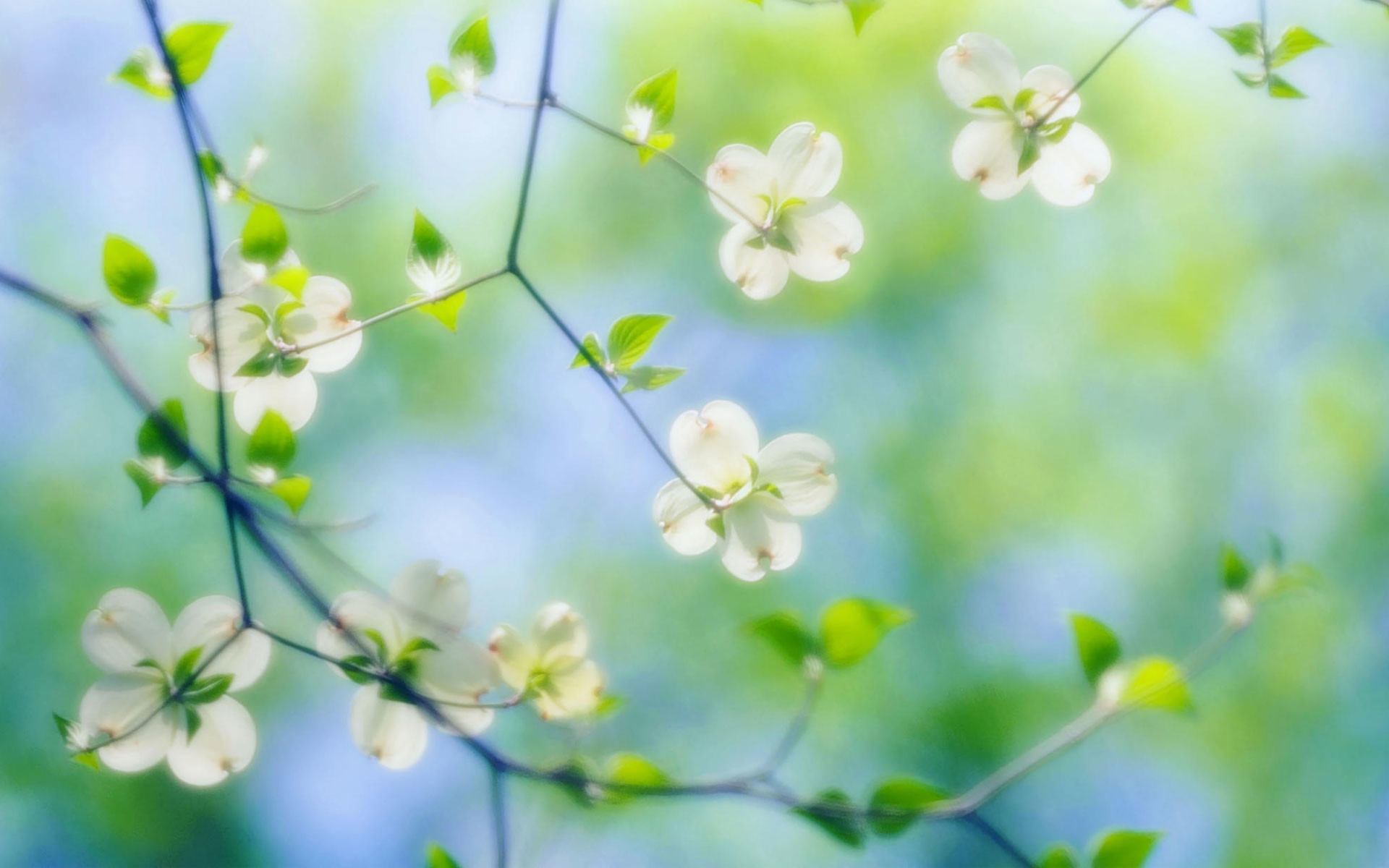 Dogwood Flowers Wallpaper