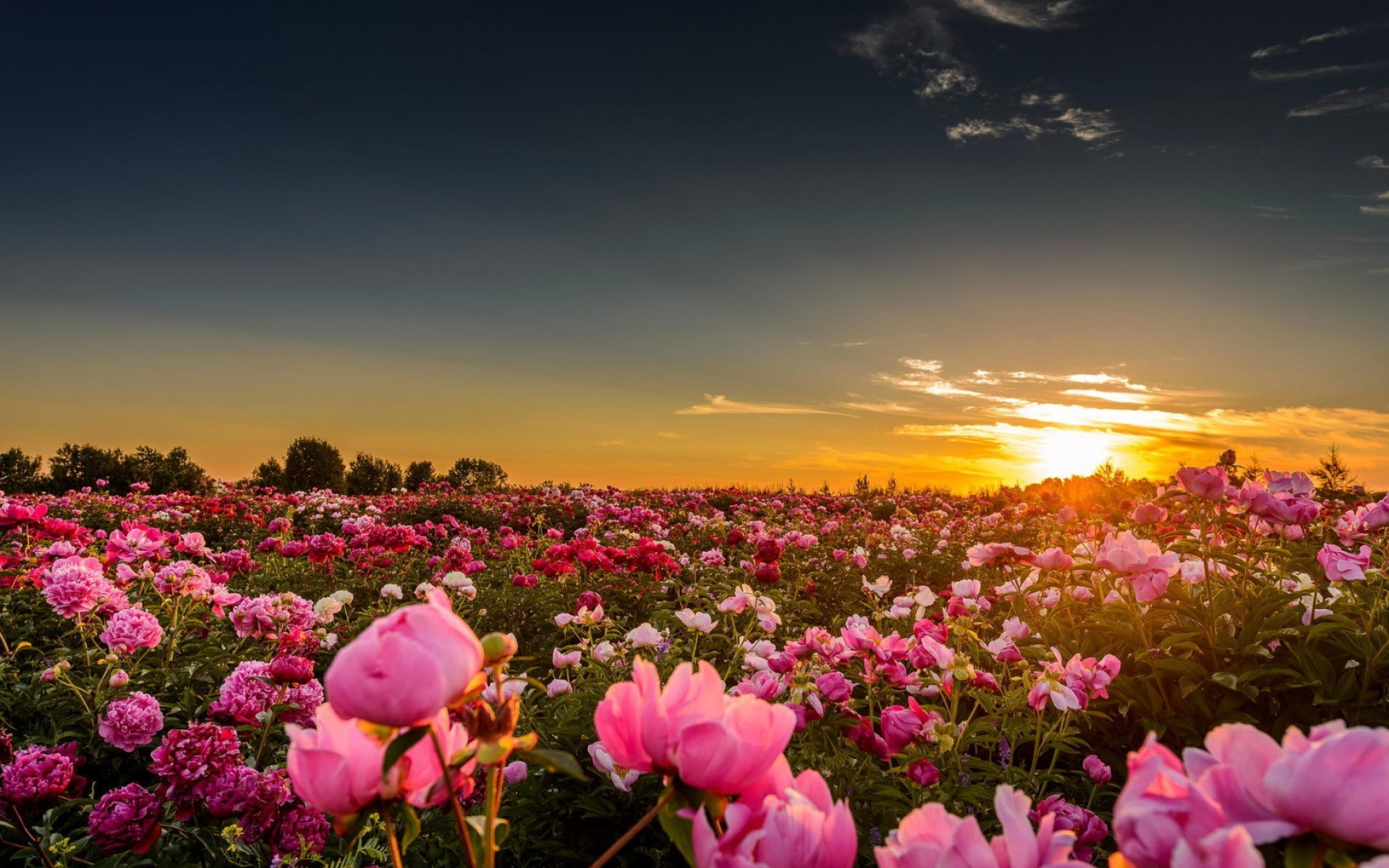 wallpapers pink peony desktop – photo #49. sunset, Sunlight, Flowers, Rose,  Pink Roses, Nature .