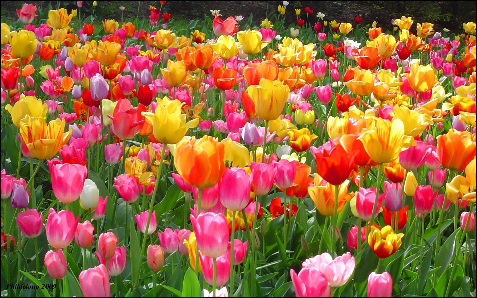 Tulip Wallpaper Backgrounds | Best Free Wallpaper