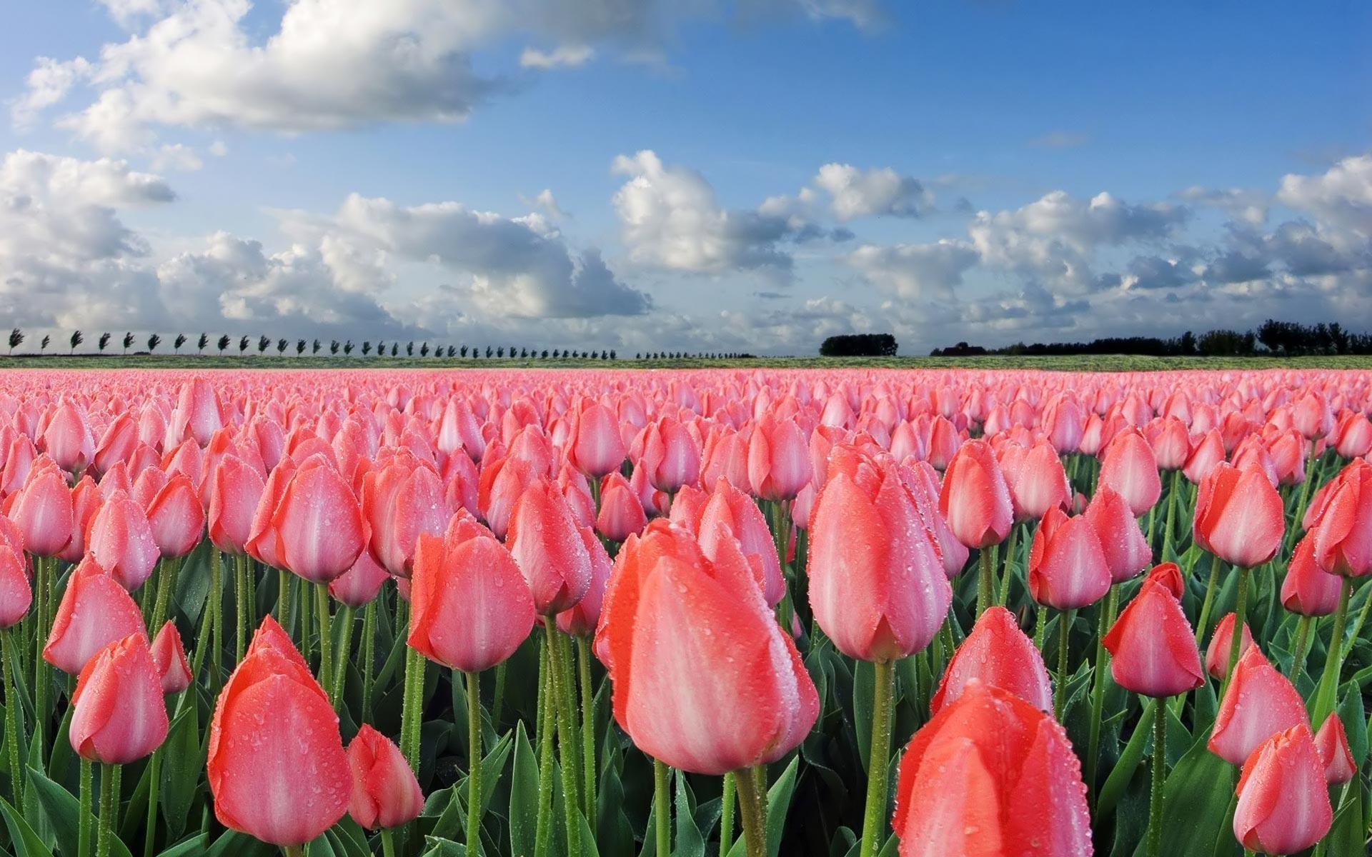 Tulips Flowers | Sky HD Wallpaper