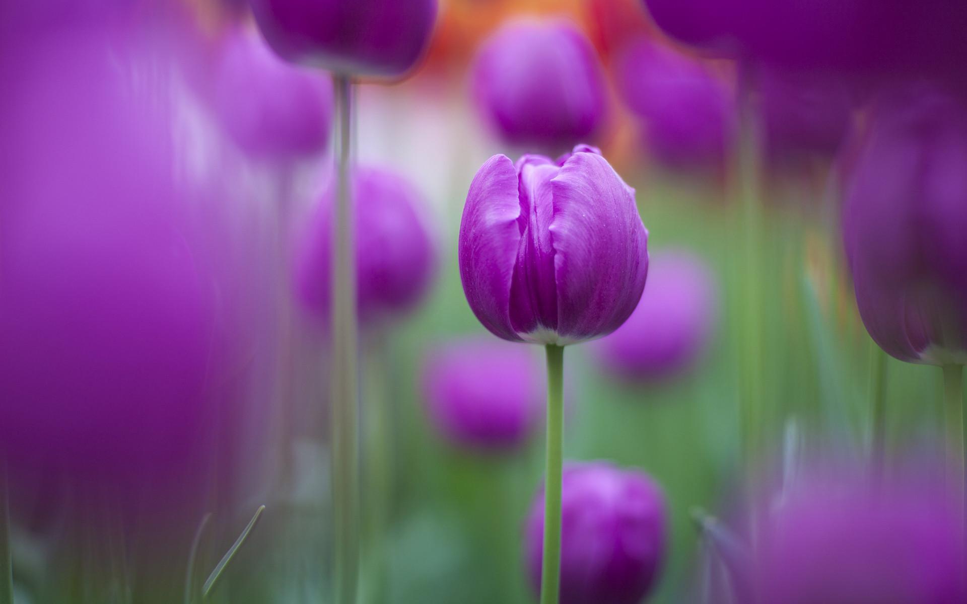 Purple Tulips Wallpapers | Free HD Wallpapers for Desktop, iPad .