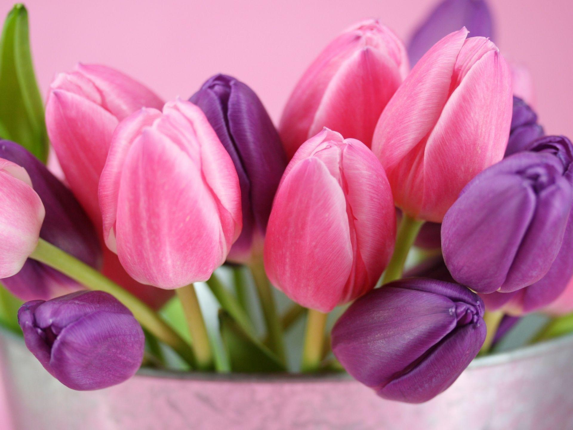 Pink Tulips HD Wallpaper