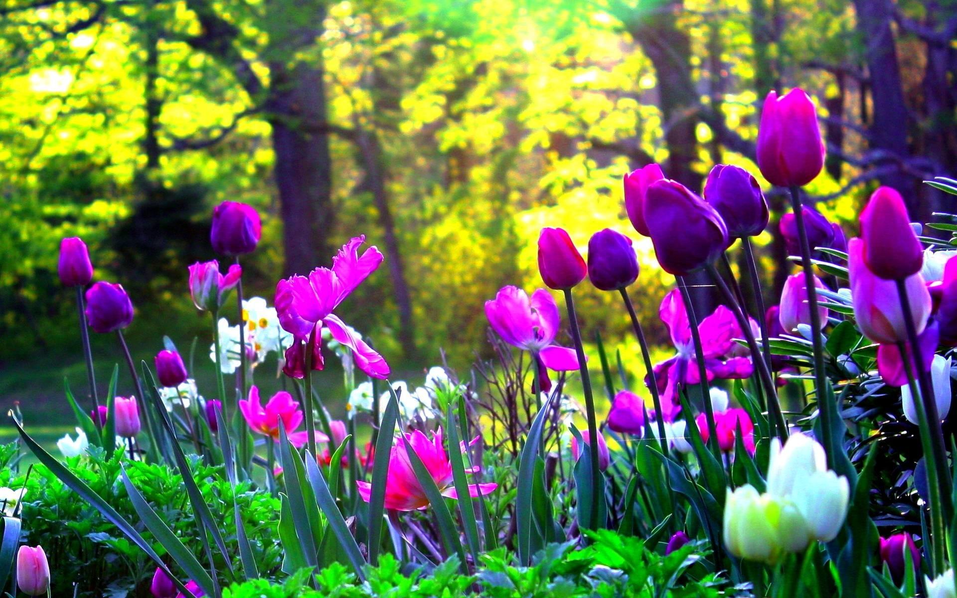 Pink And Purple Tulips HD desktop wallpaper High Definition