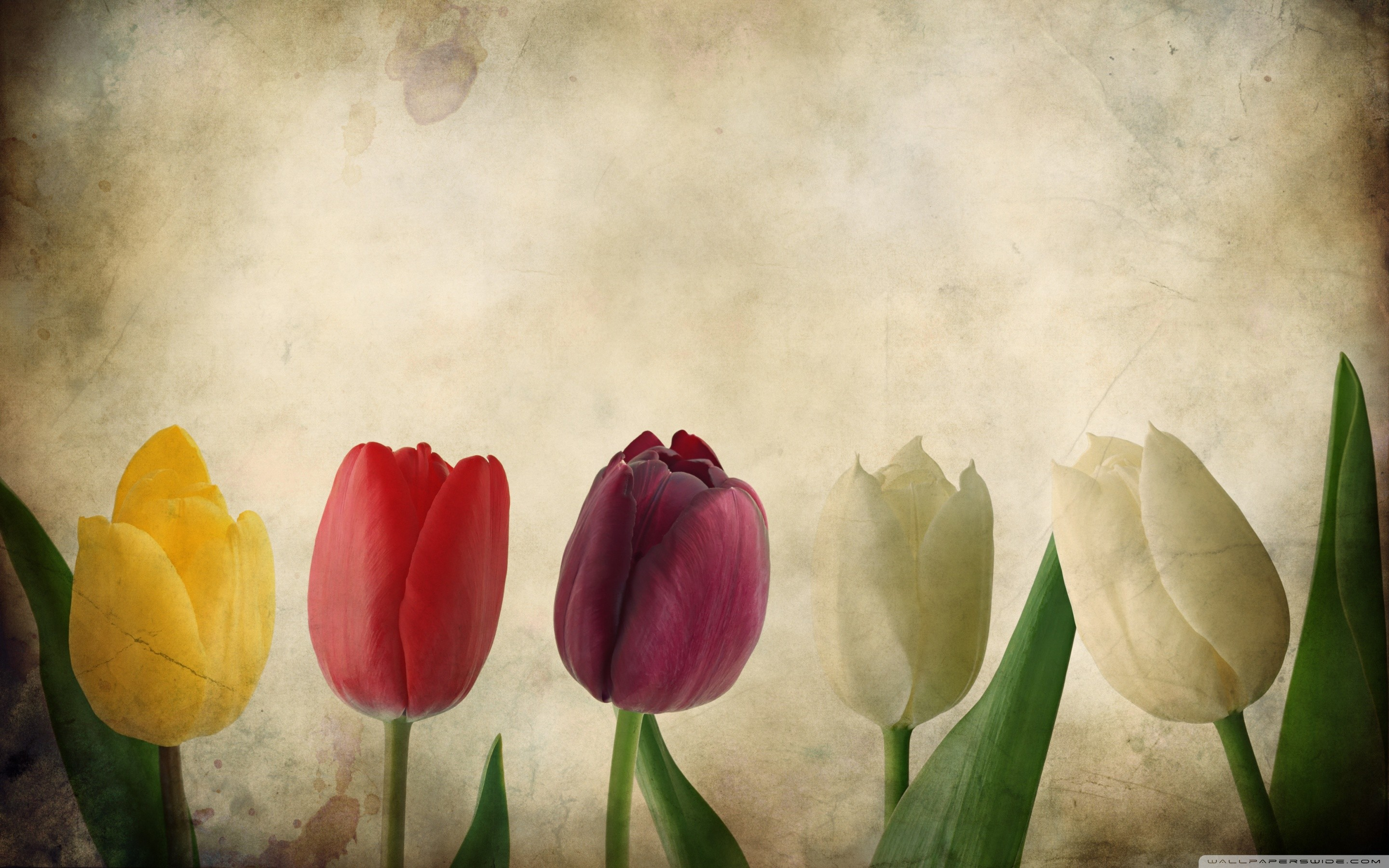tulip-flower | Tulip | Pinterest | Tulips flowers, Flower images wallpapers  and Flower images