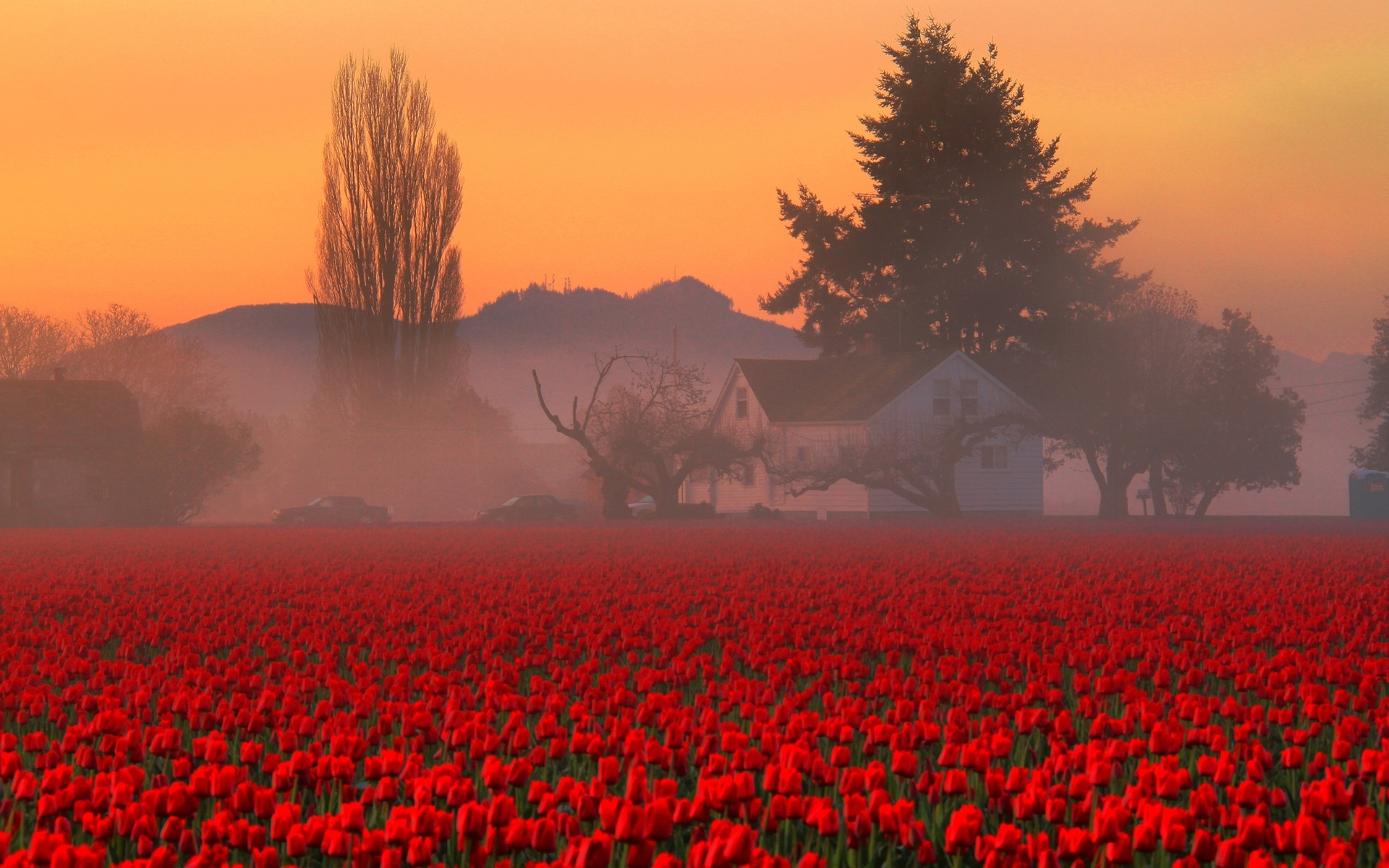 … Red Tulips HD Wallpaper …