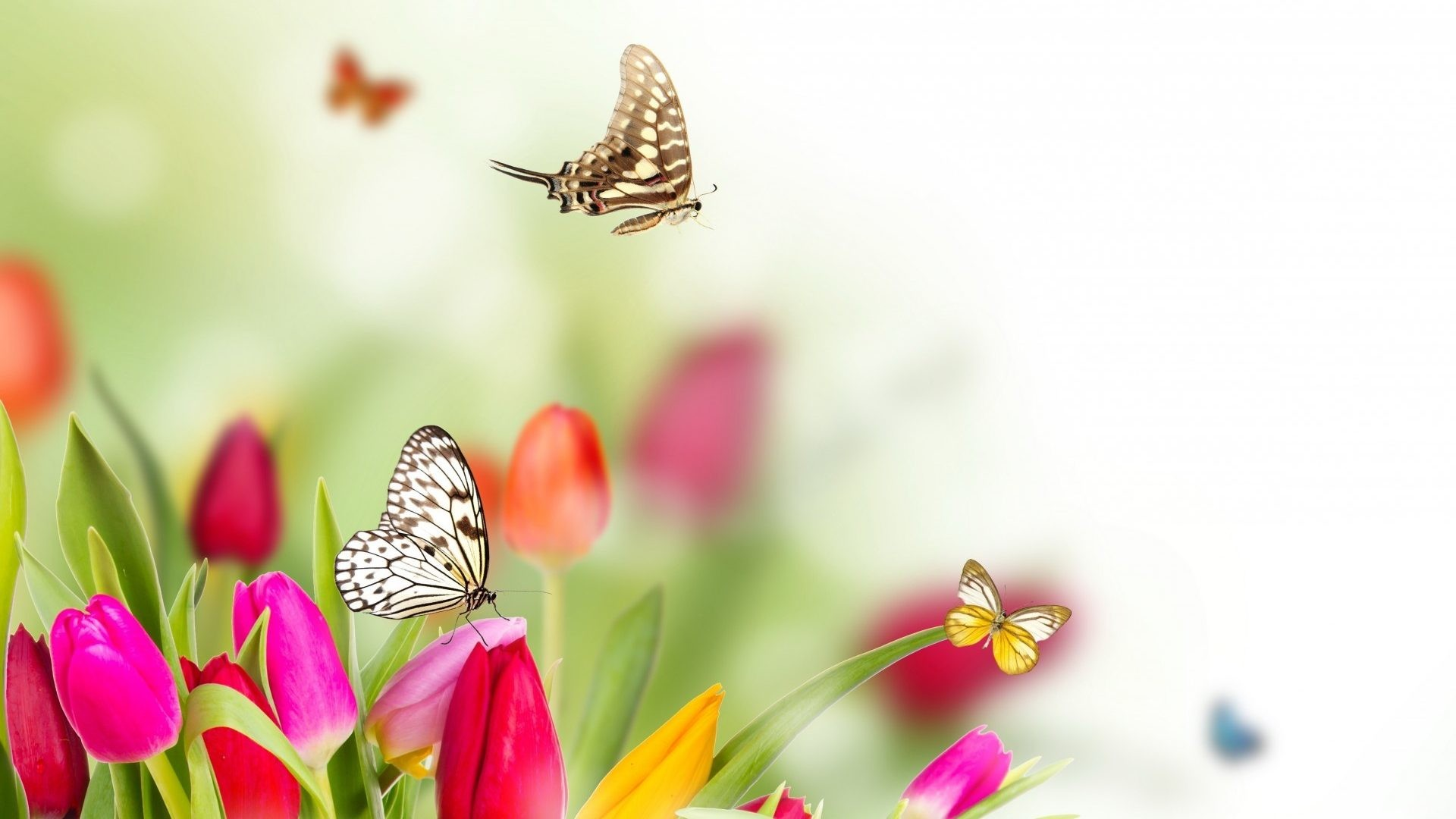 Tulips Tag – Flowers Butterflies Spring Tulips Nature Wallpaper Download  For Mobile Phone for HD 16