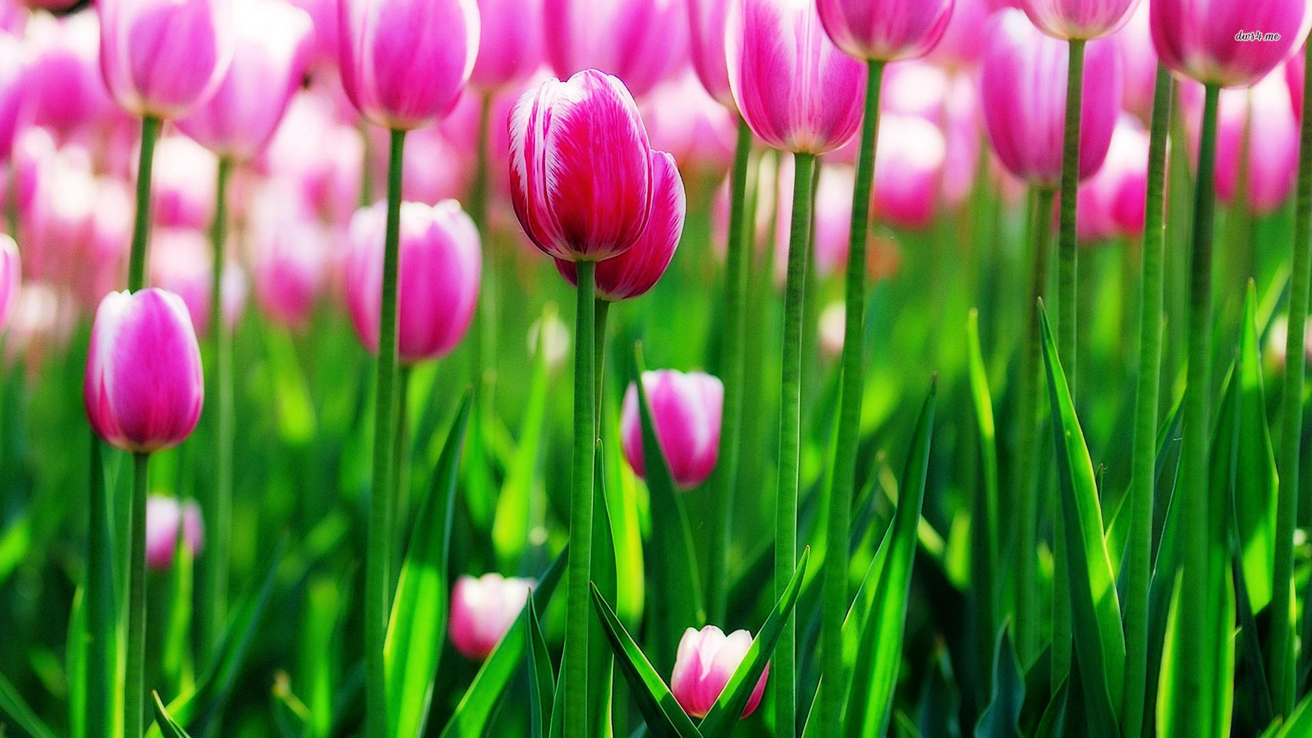 Tulip flower wallpaper for mobile | HD Wallpapers | Pinterest | Wallpaper  and Hd wallpaper