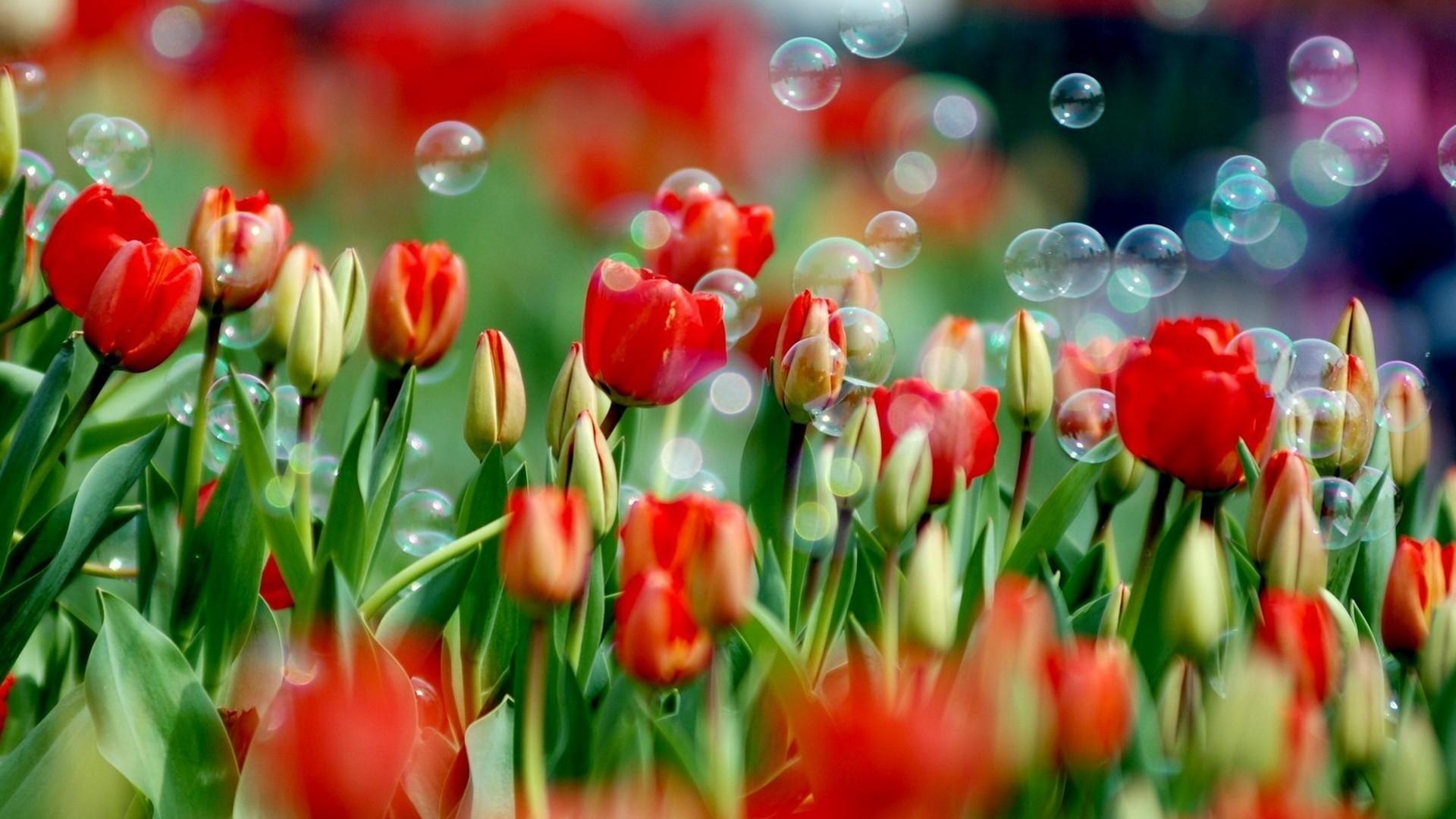 red tulip flower wallpaper nature hd