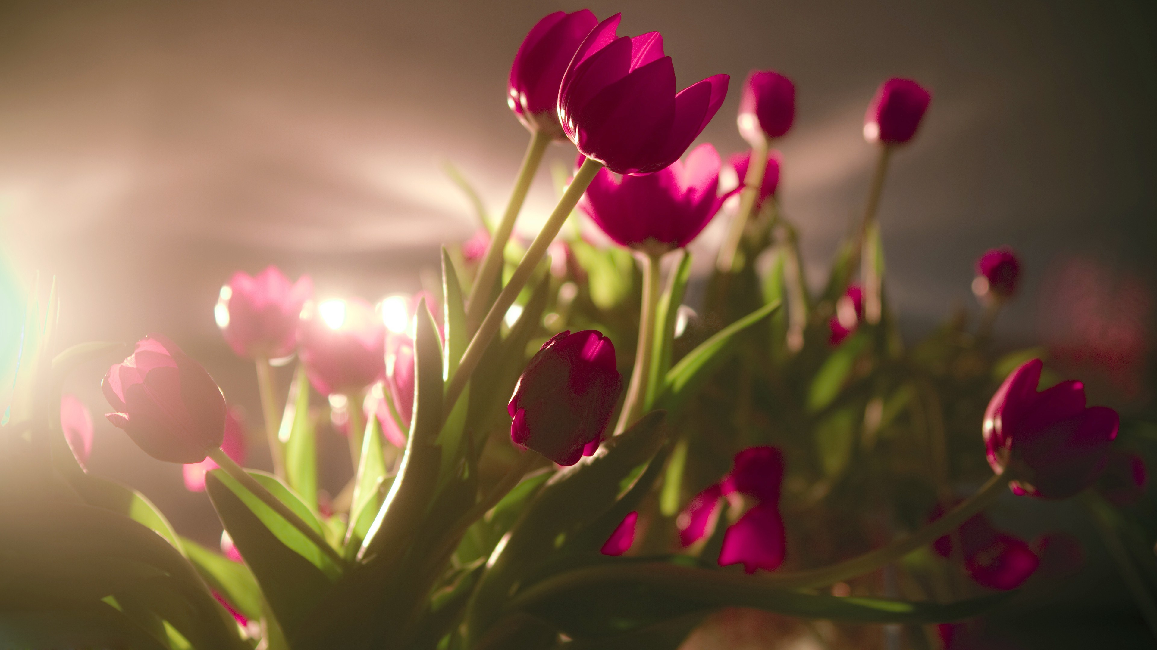 Beautiful Flowers Tulip Hd Wallpapers Images