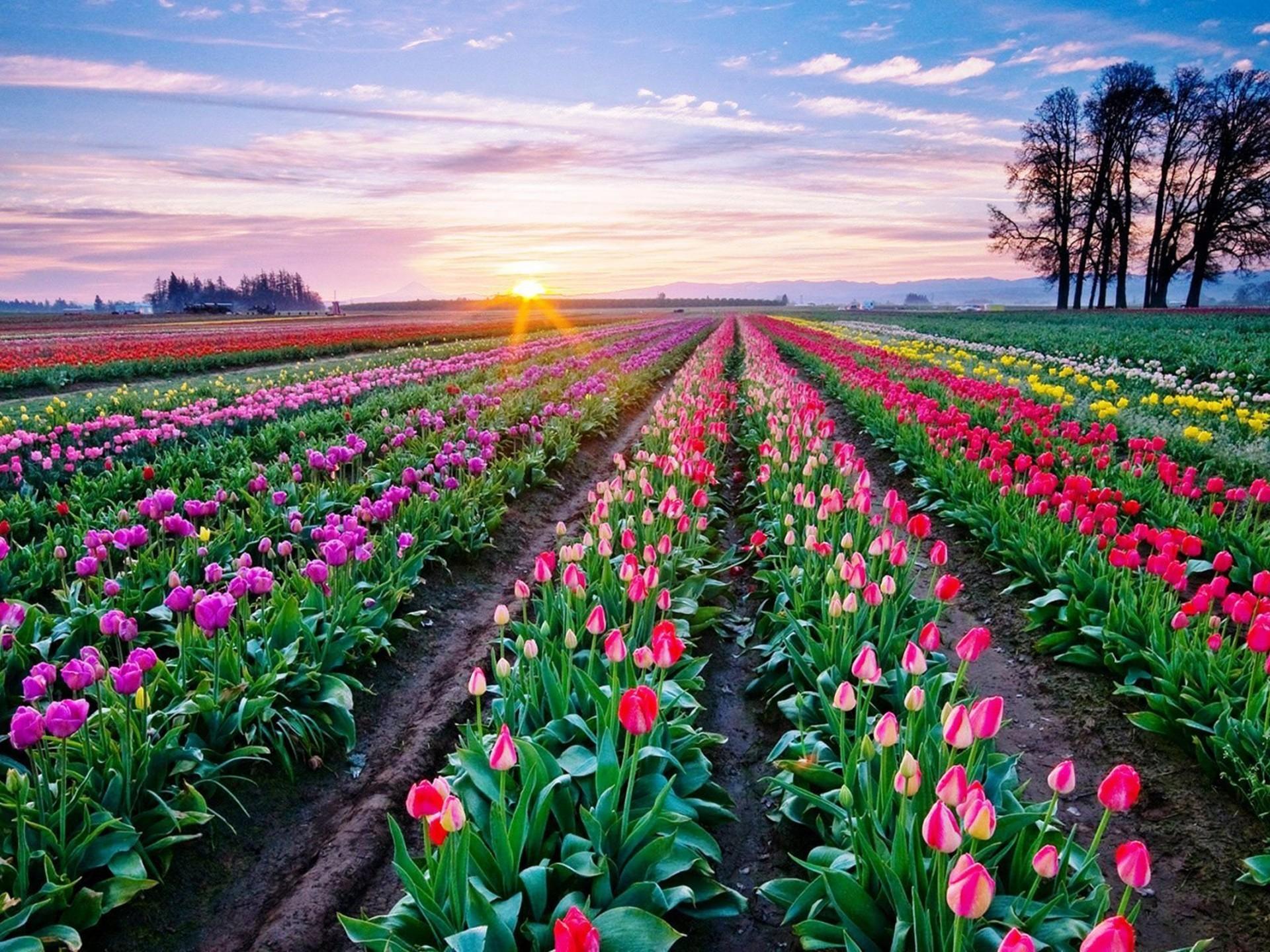 Beautiful Tulips Desktop Background 854 : Wallpapers13.com