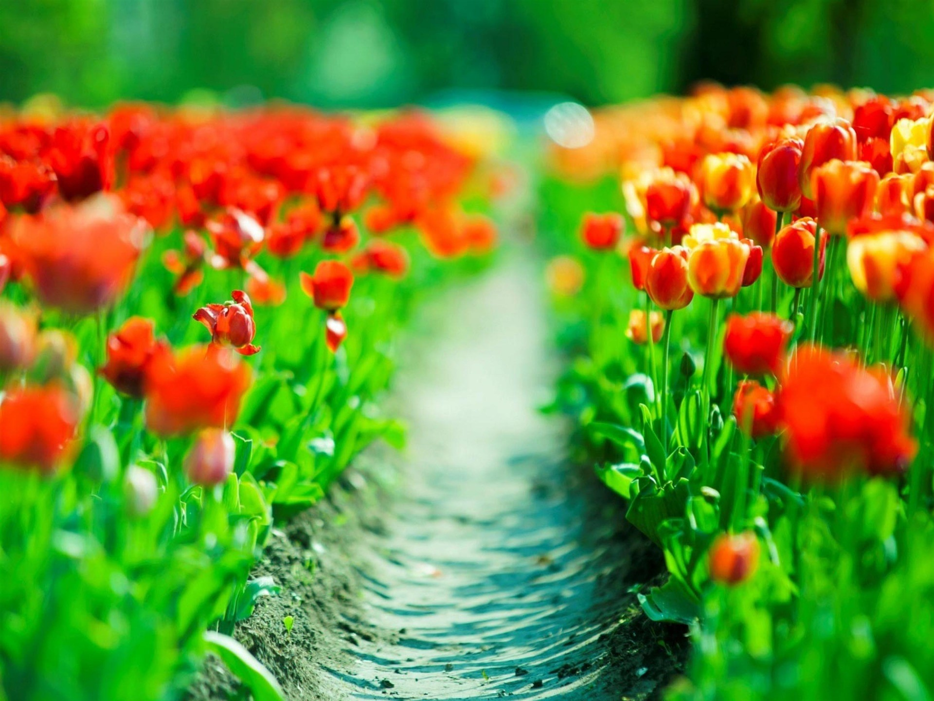 Beautiful Spring Tulips Background Free Download