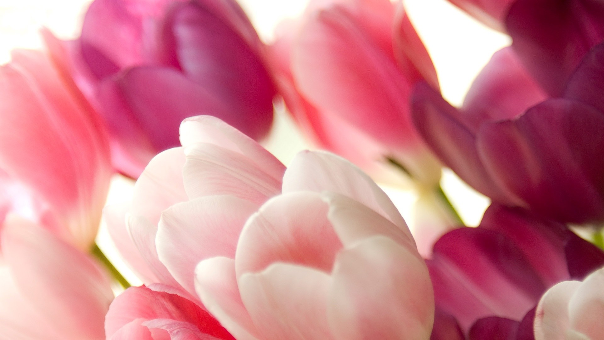 Pink Tulips Wallpapers Wallpaper 1280×1024 Tulips Images Wallpapers (45  Wallpapers) | Adorable Wallpapers | Desktop | Pinterest | Tulips flowers  and …