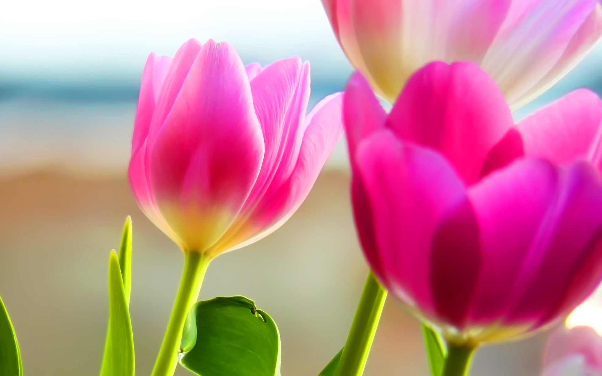 Tulips Background Spring Scenery Nature Desktop wallpapers HD free .