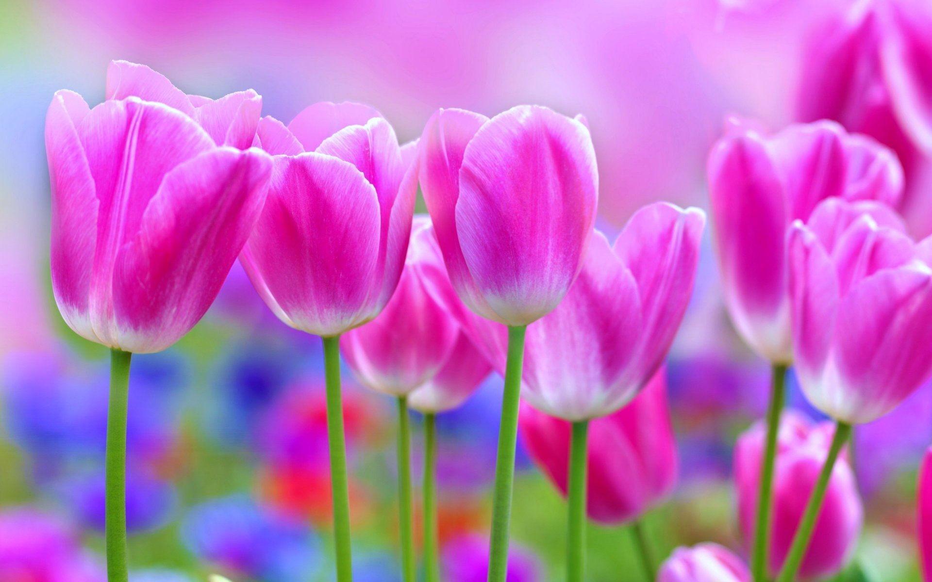 Pink Tulips Beautiful Flower Wallpaper