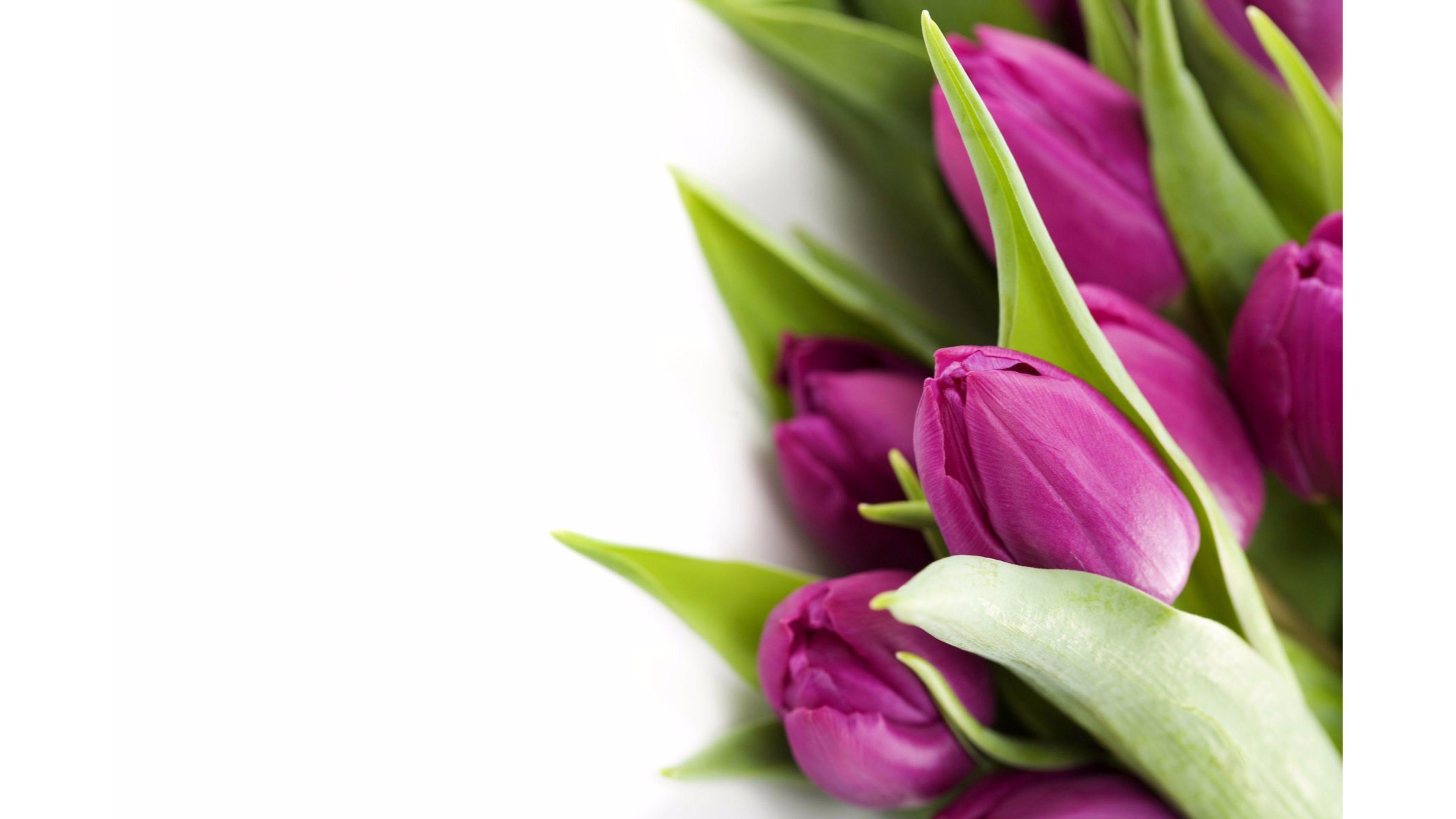 Violet 4K Tulips Wallpaper